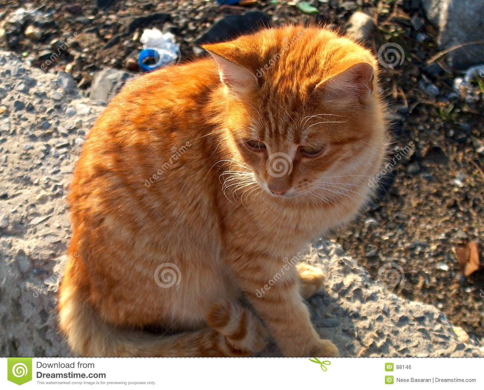 Żółty kota