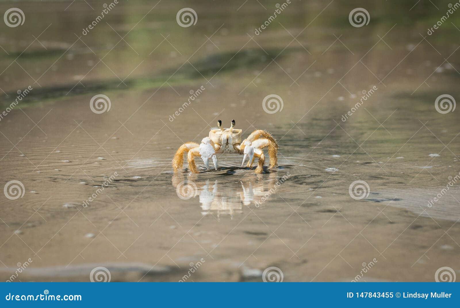 Żółty kraba odprowadzenie na plaży