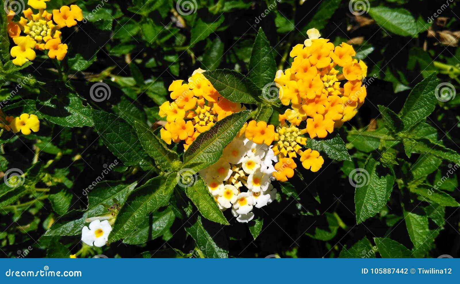 Żółty lantana kwiat