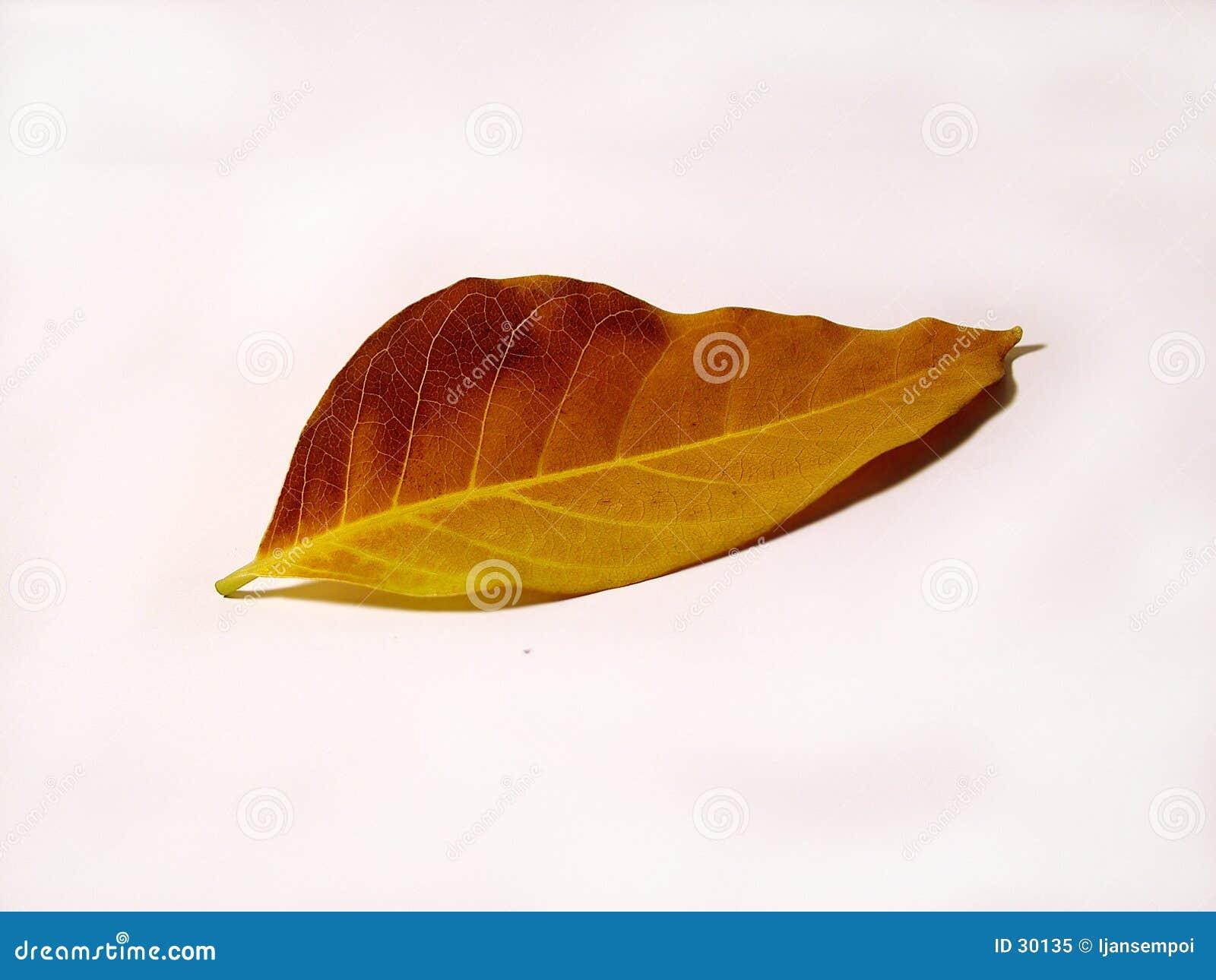 Żółty liści