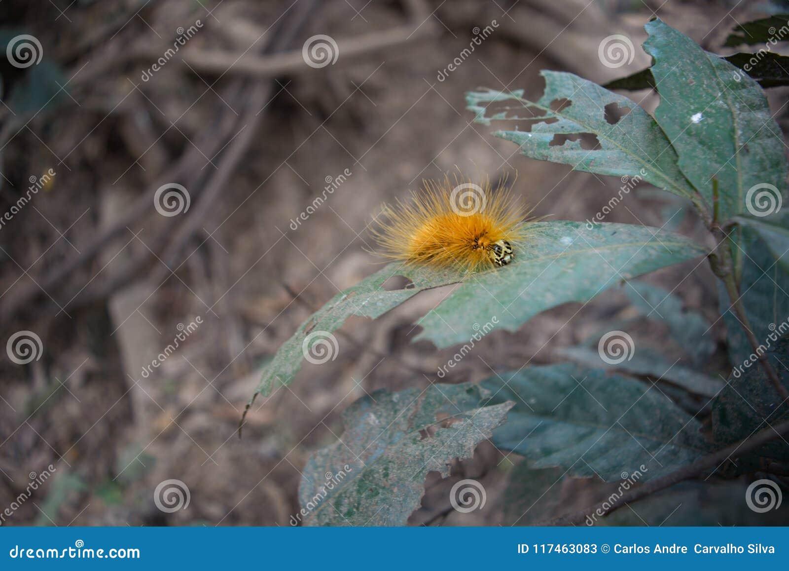 Żółty owłosiony taturana znać jako pożarniczy caterpillarr