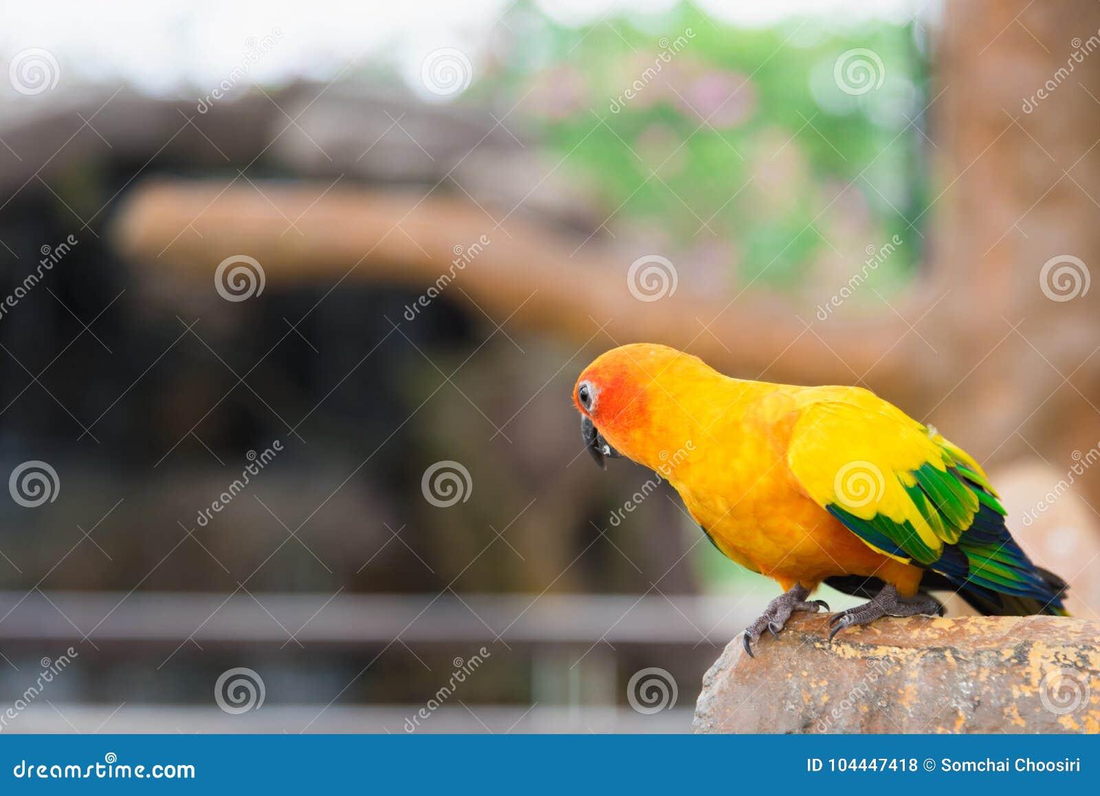 Żółty papuzi ptak, słońca conure