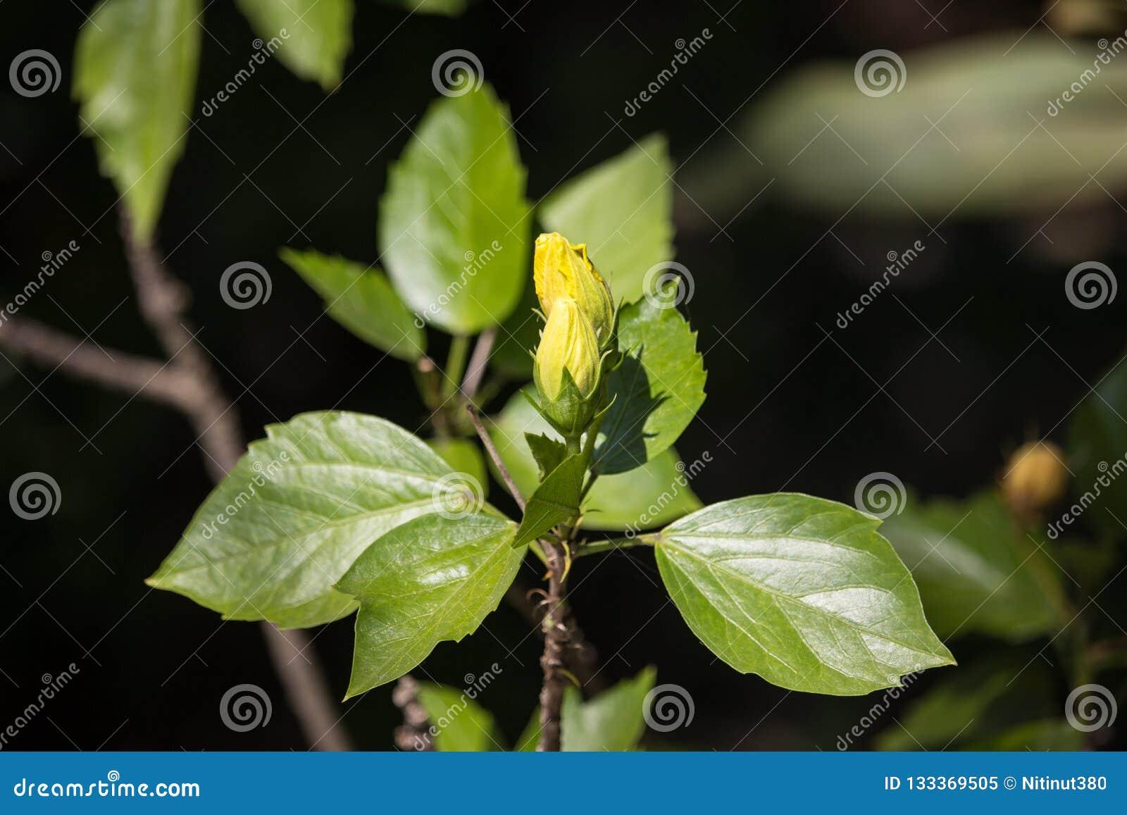 Żółty poślubnika kwiat w czarnym darda tle