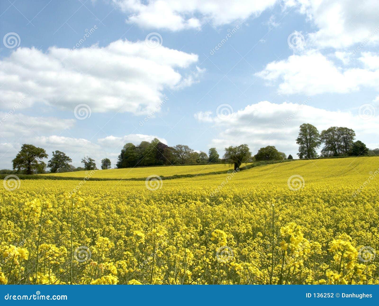 Żółty pola