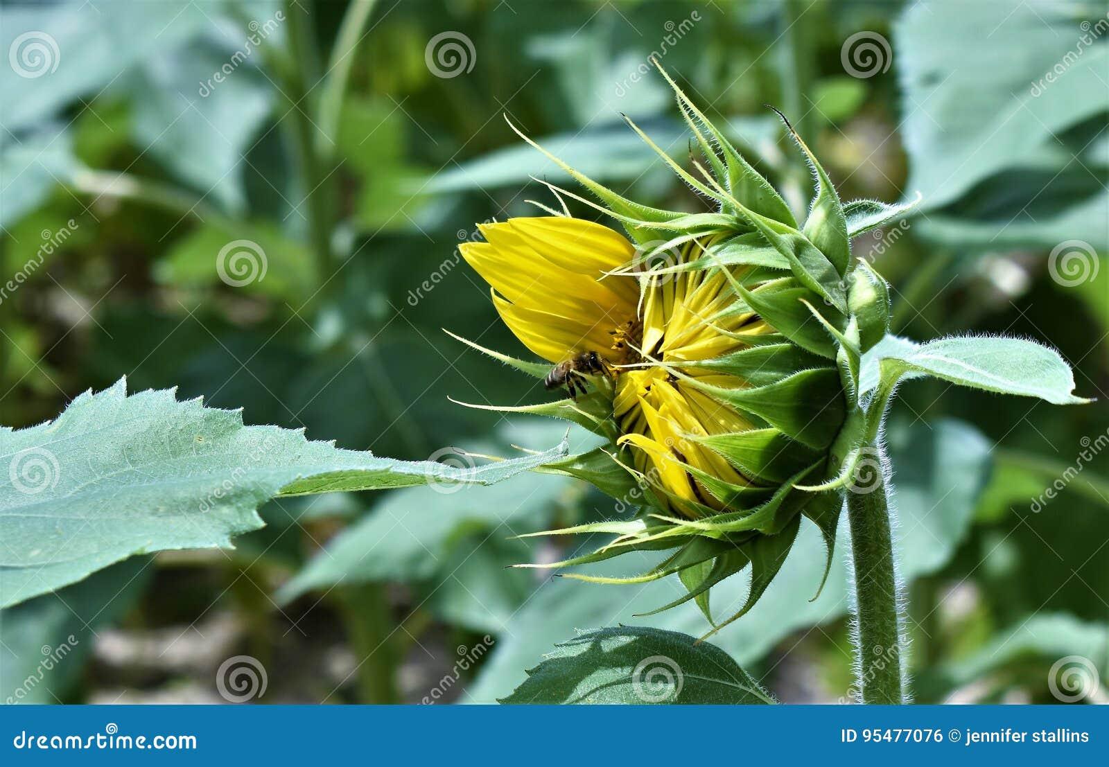 żółty słonecznik