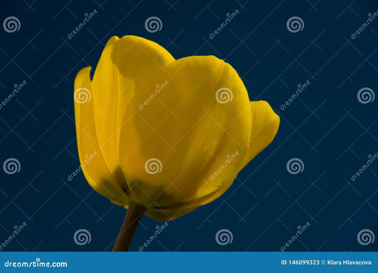 Żółty tulipanowy kwiat na błękitnym tle