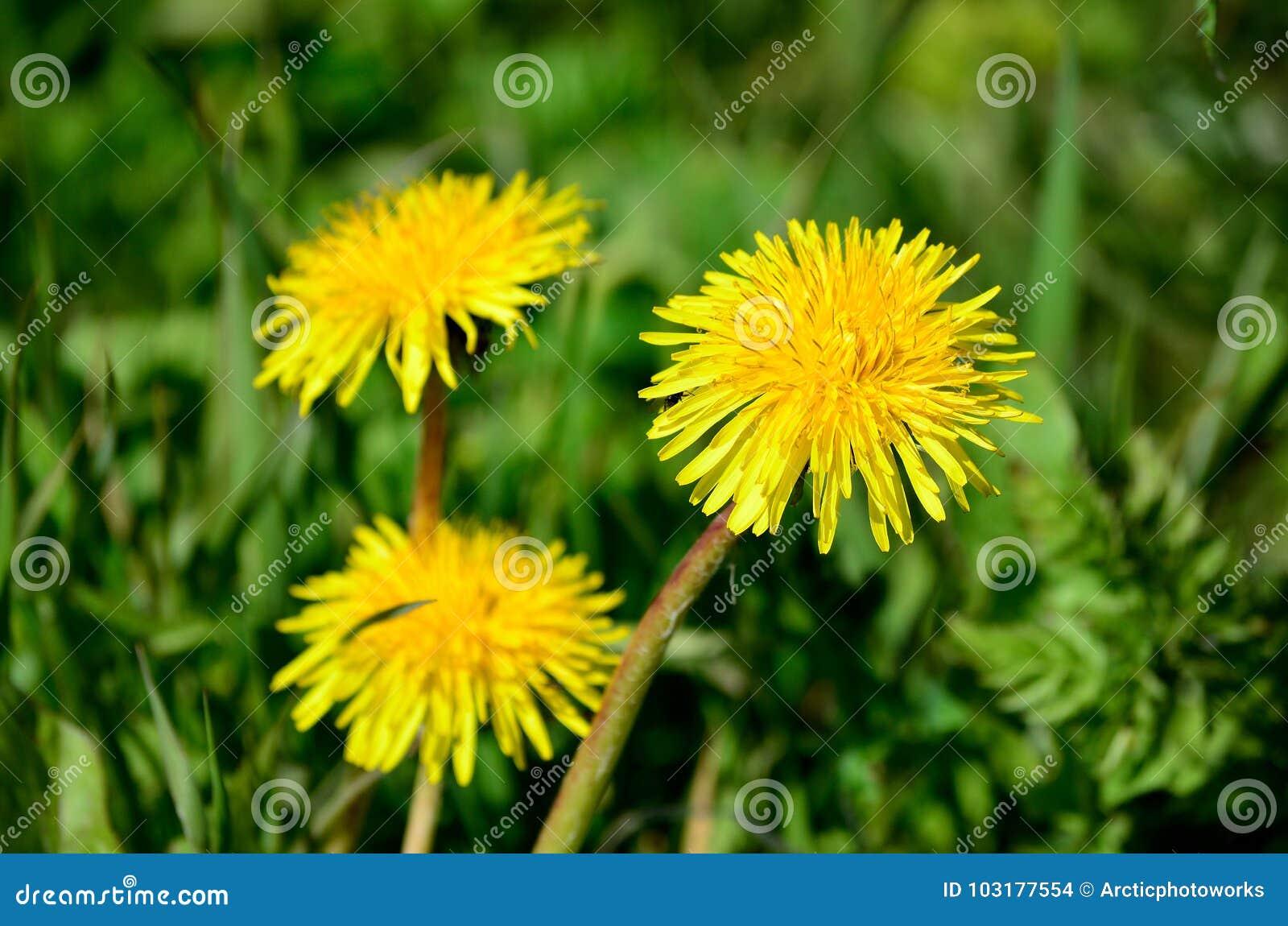 Żółty wildflower w bujny zieleni lecie