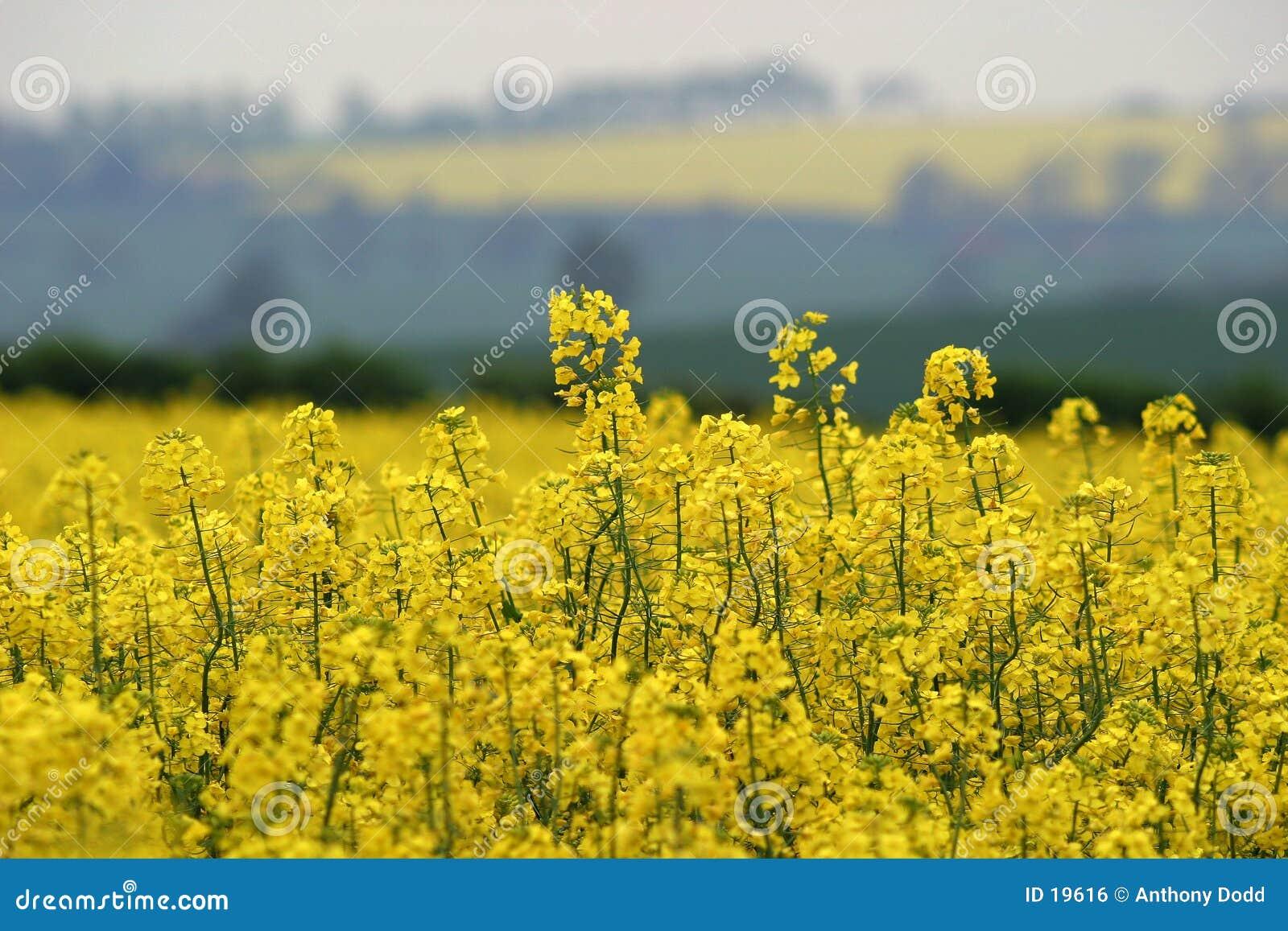 Żółty wiosna