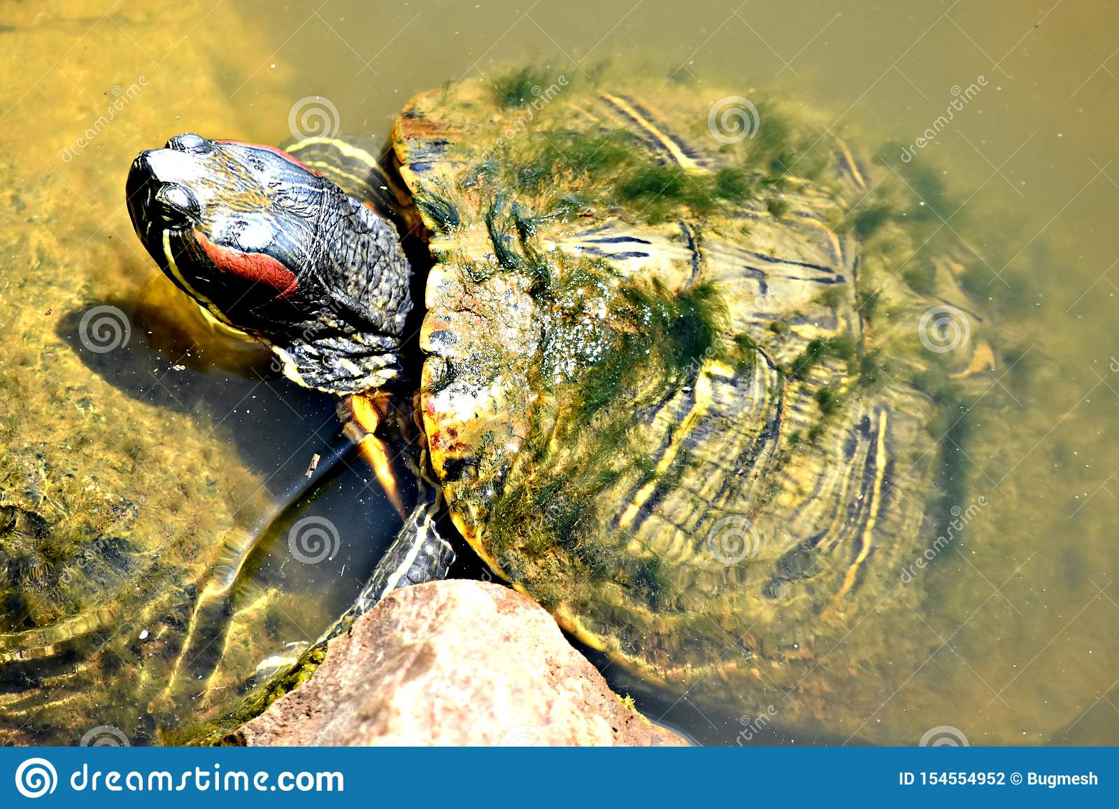 Żółw, czerwony słyszący suwak przy Oklahoma City zoo,