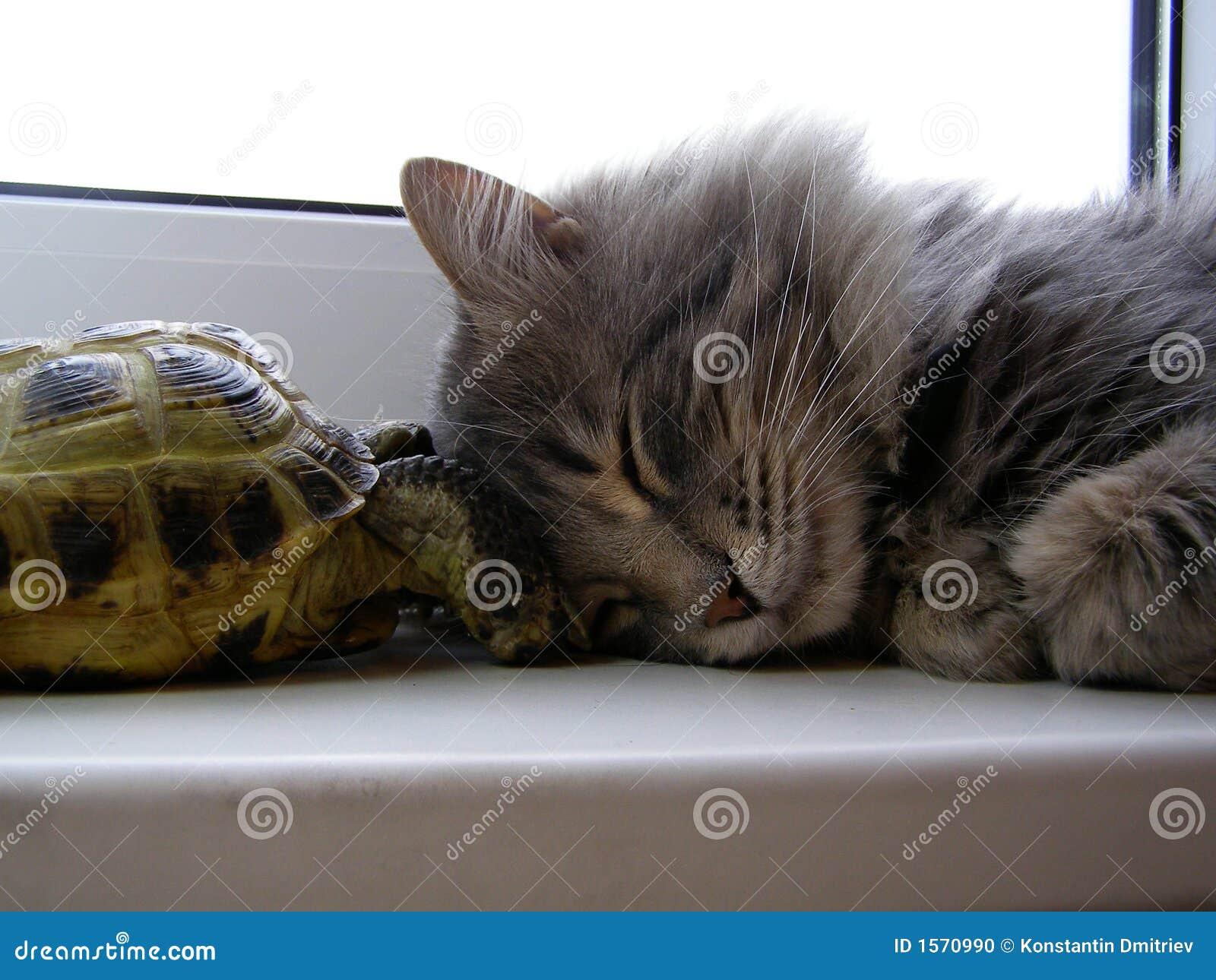 żółw kota