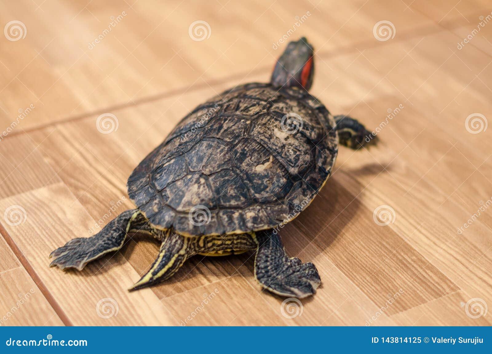 Żółw na podłodze w domu