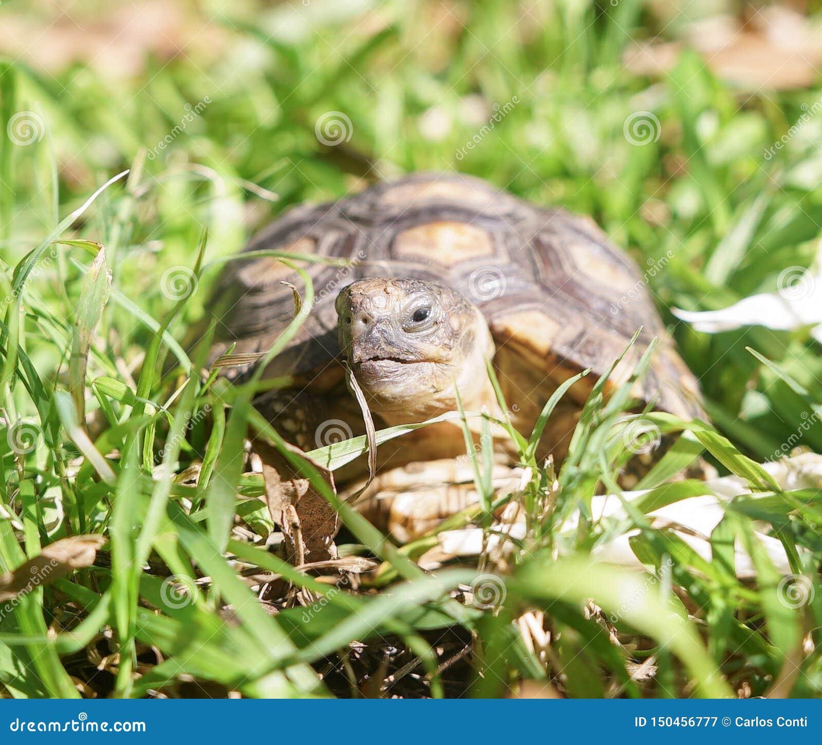 Żółw pozycja na trawie
