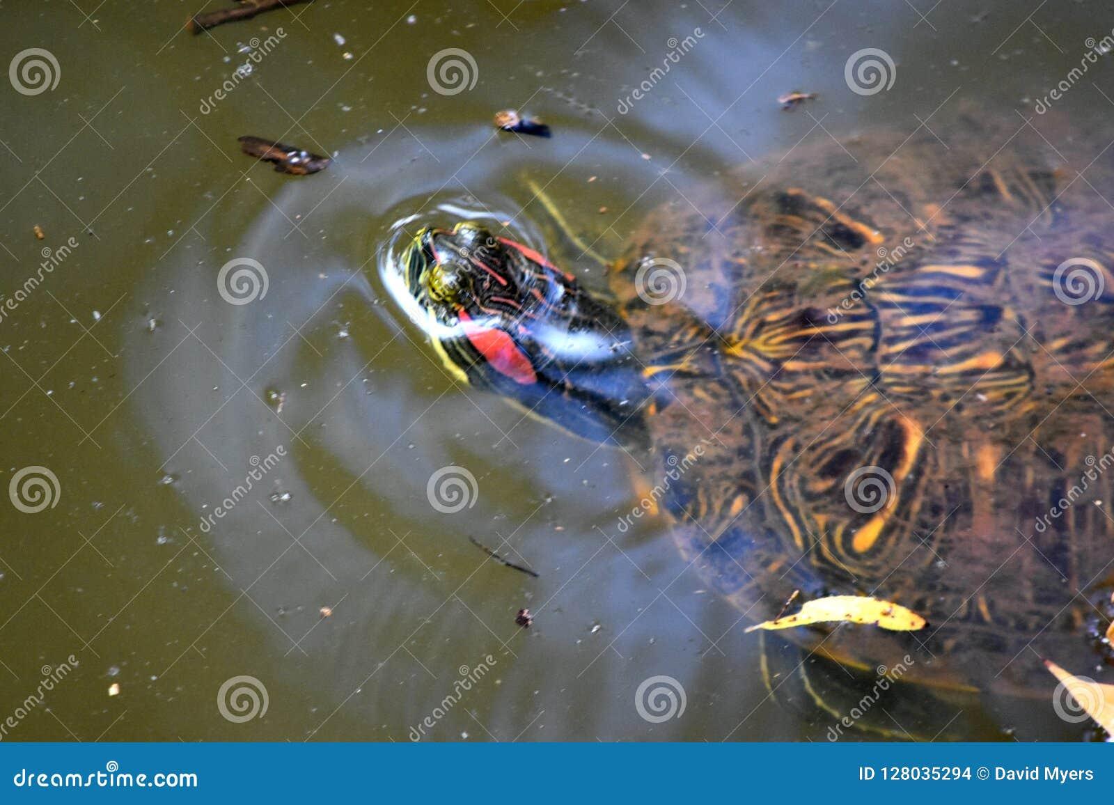 Żółw, Słyszący suwak przy Martin parka natury CenterOklahoma miastem,