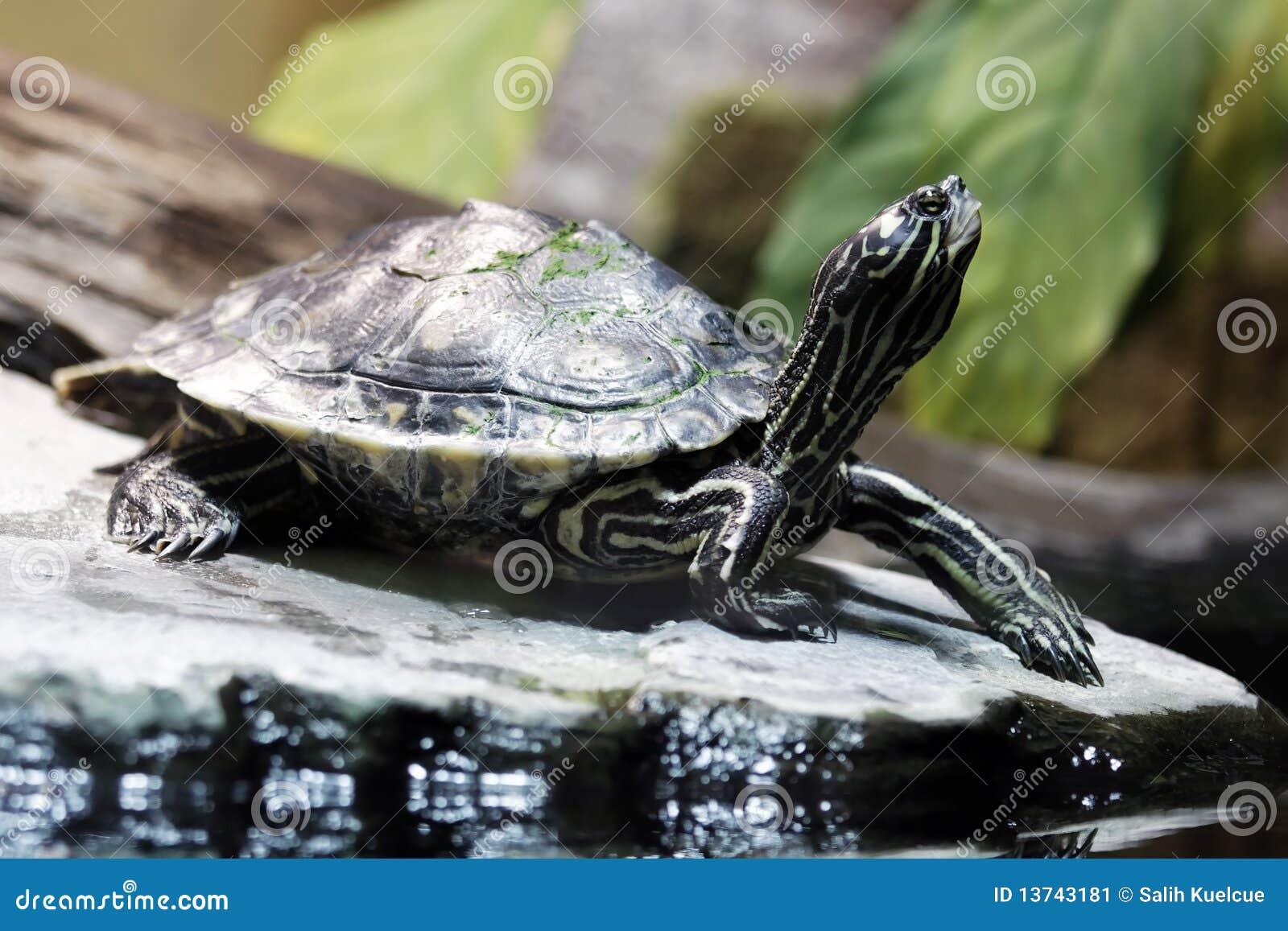 żółw woda