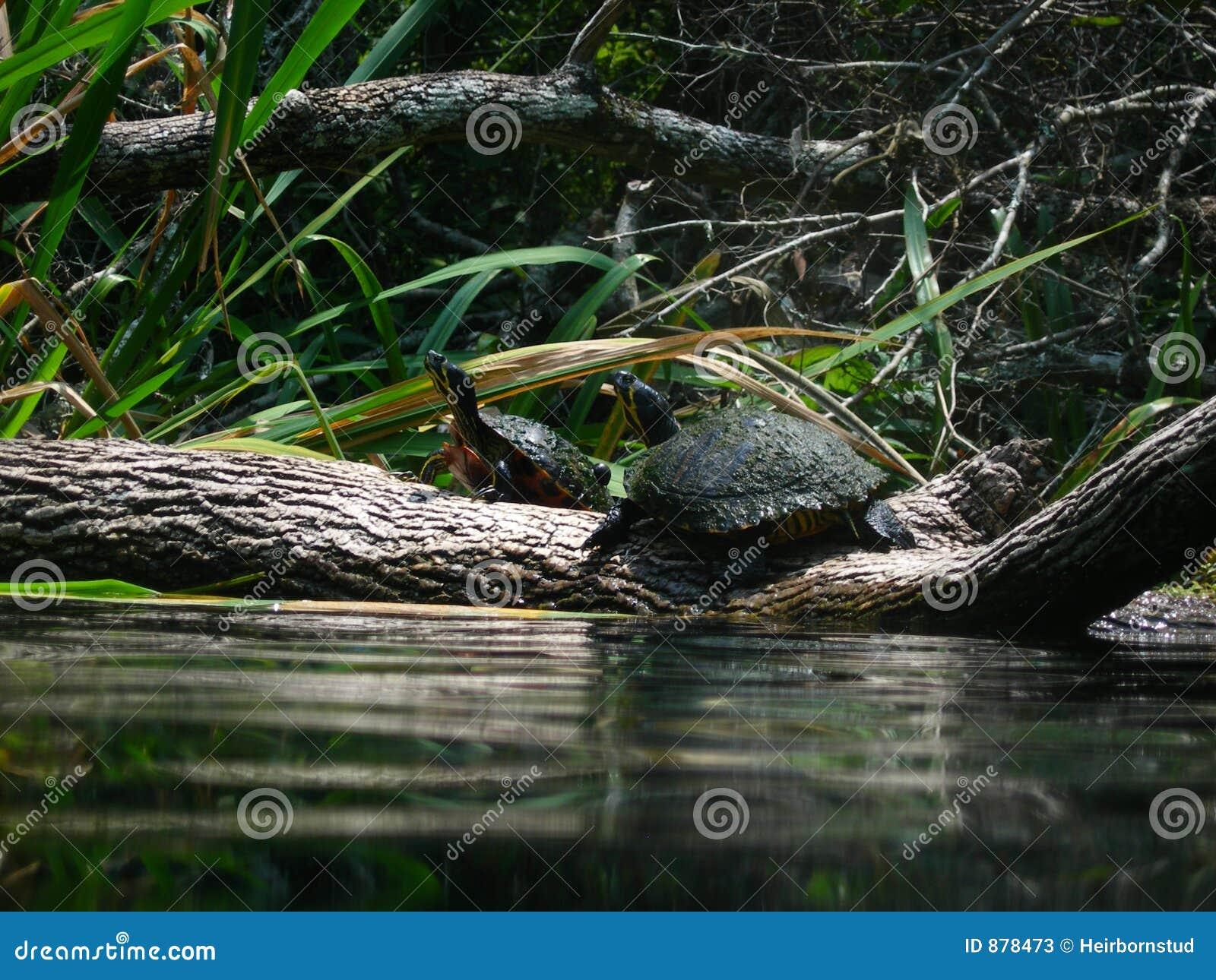 żółwi.