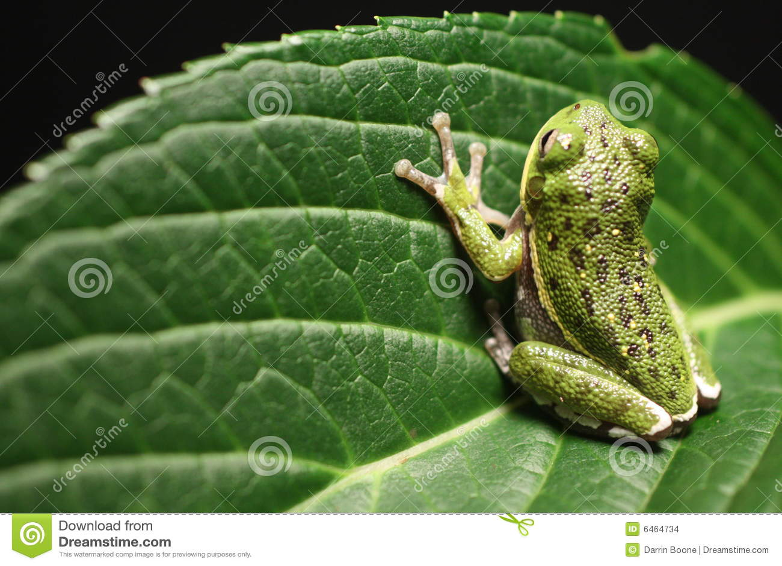 żaba liści,