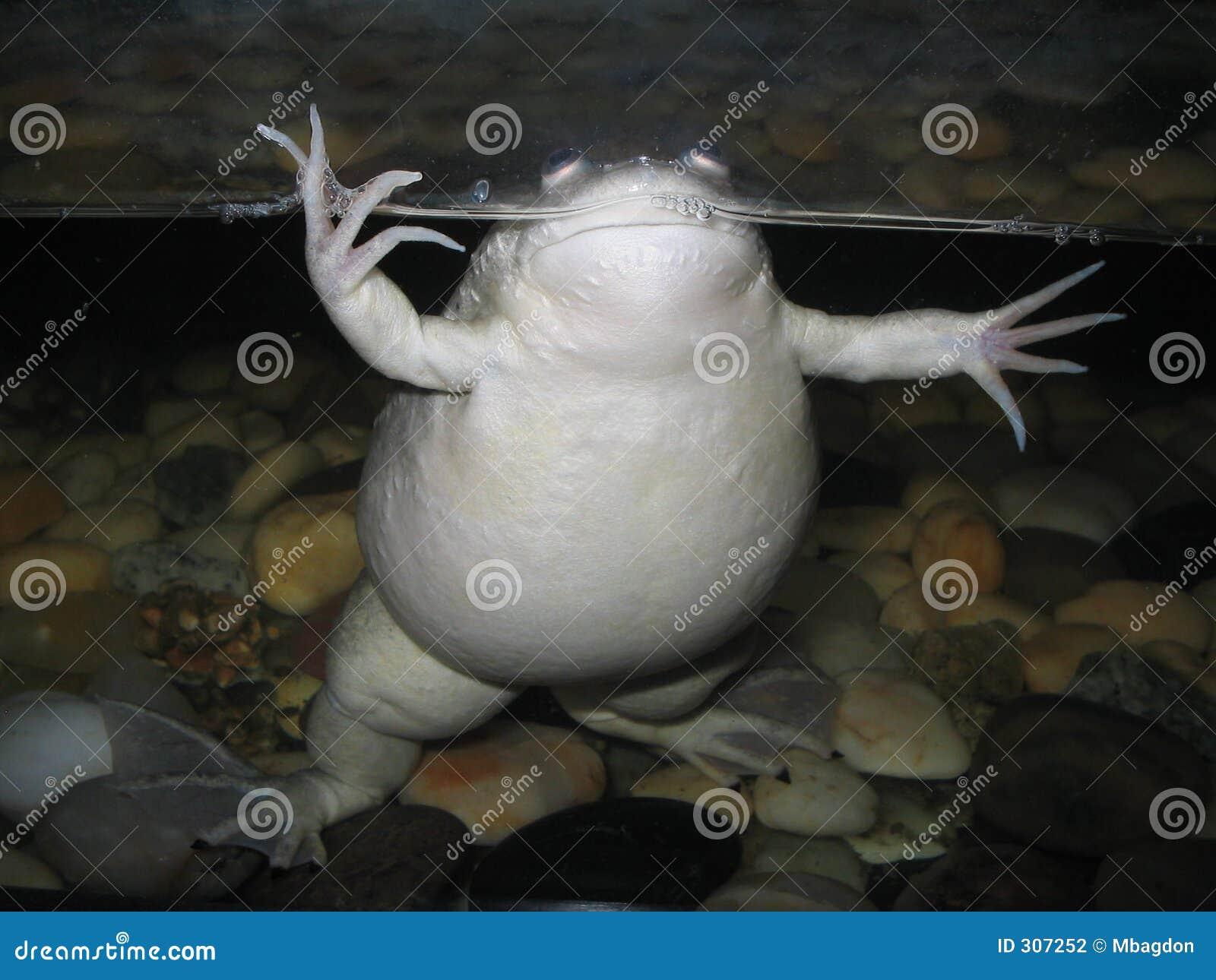 żaba tłuszczu