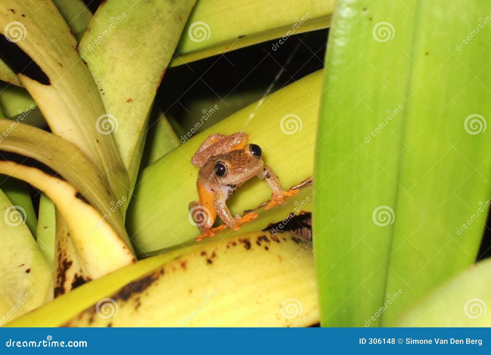 żaba trochę