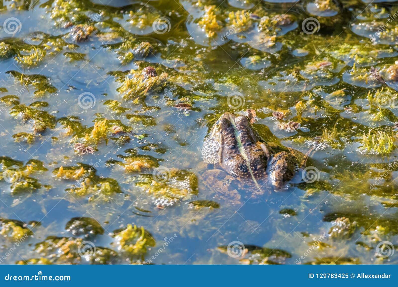 Żaba w wodnym zakończeniu w górę widoku