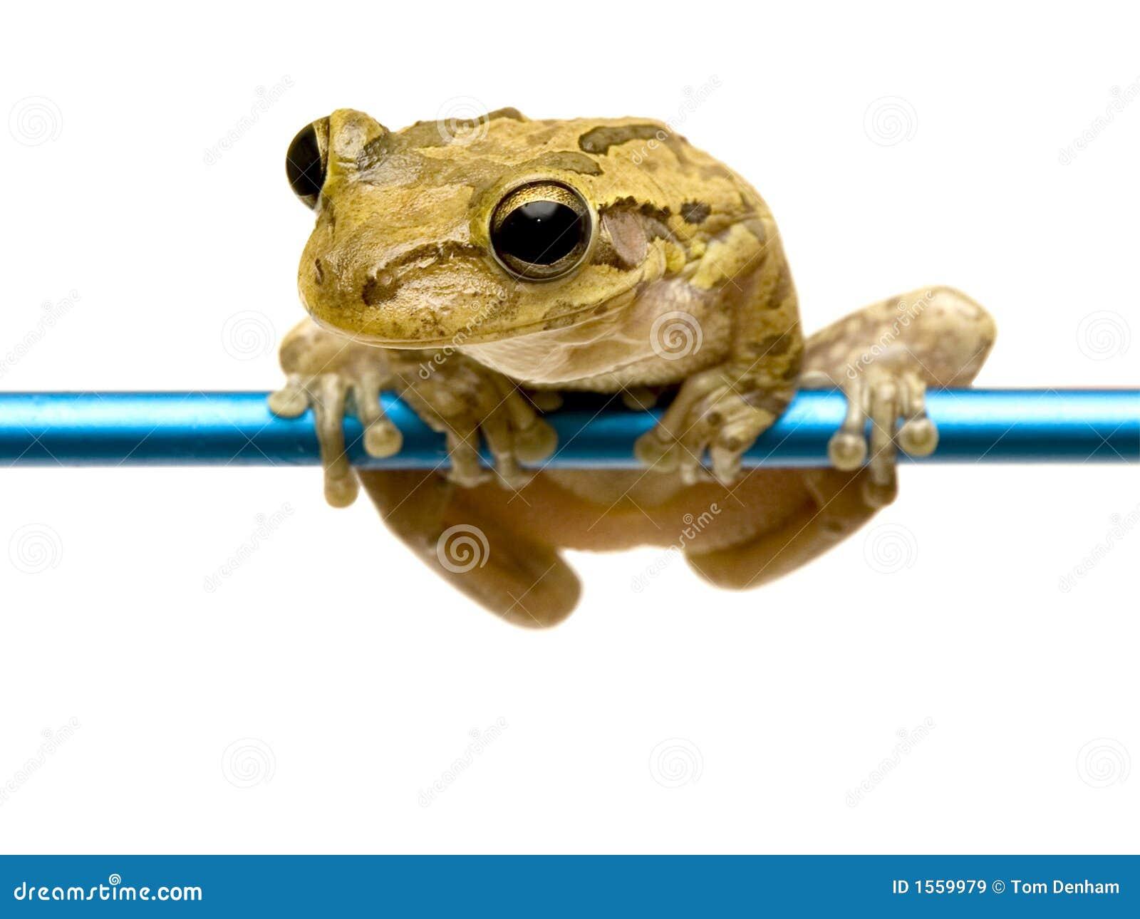 żabka pet