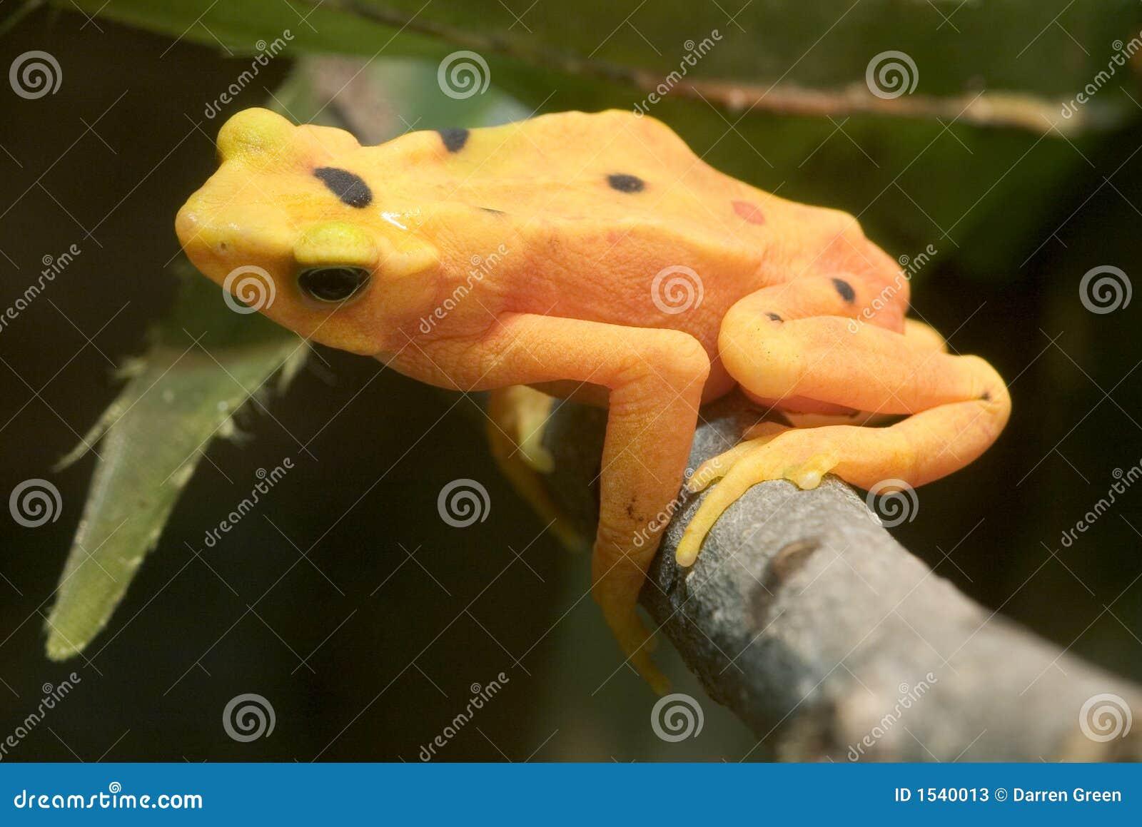 żaby atelopus panamski złoty zeteki