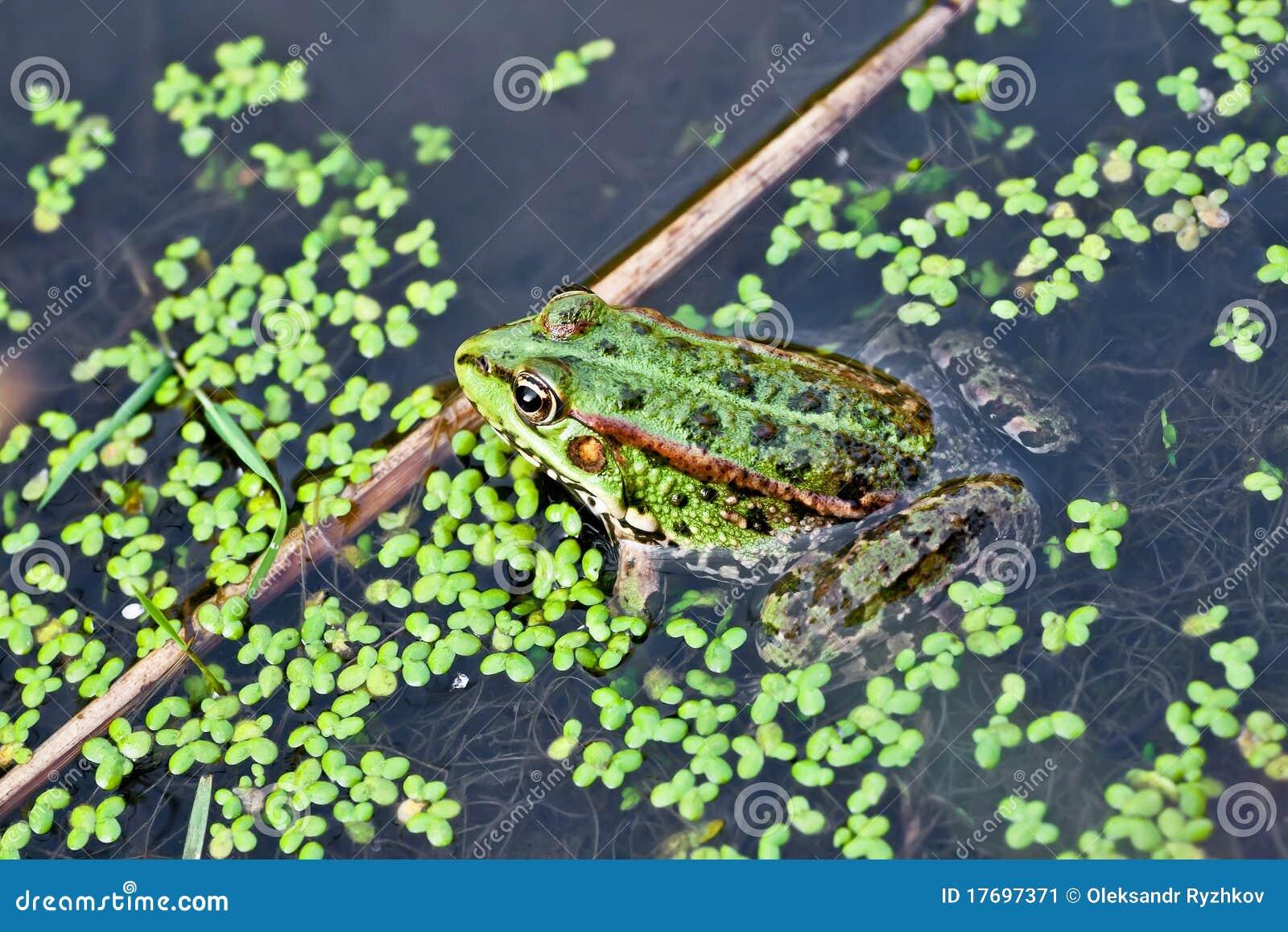 żaby fotografii woda