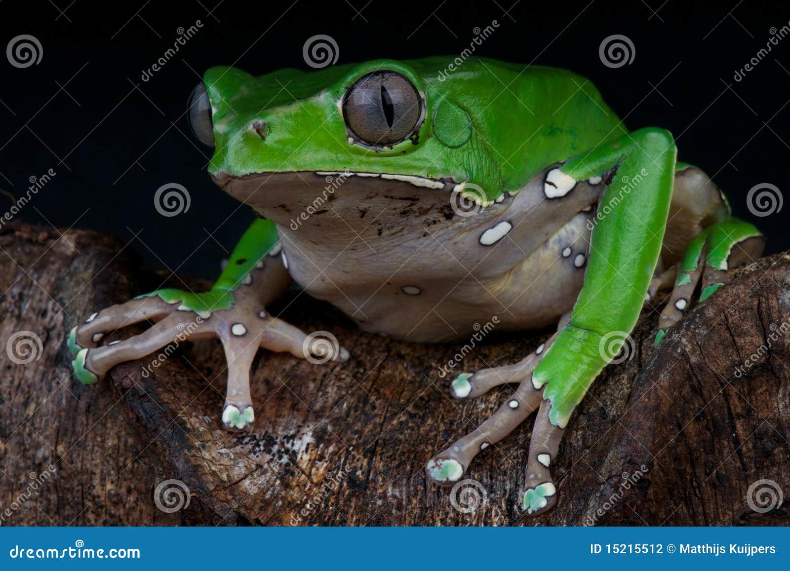 żaby giganta liść