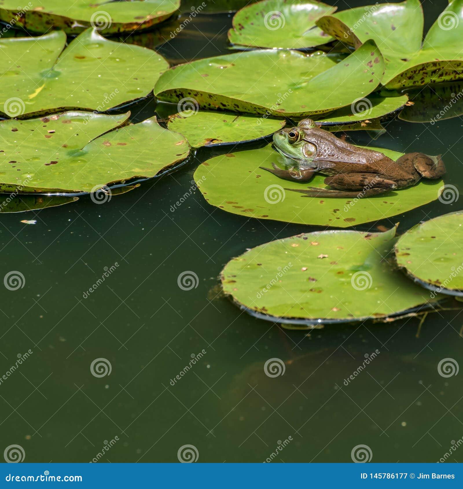 Żaby obsiadanie na ochraniaczu w wodzie lilly