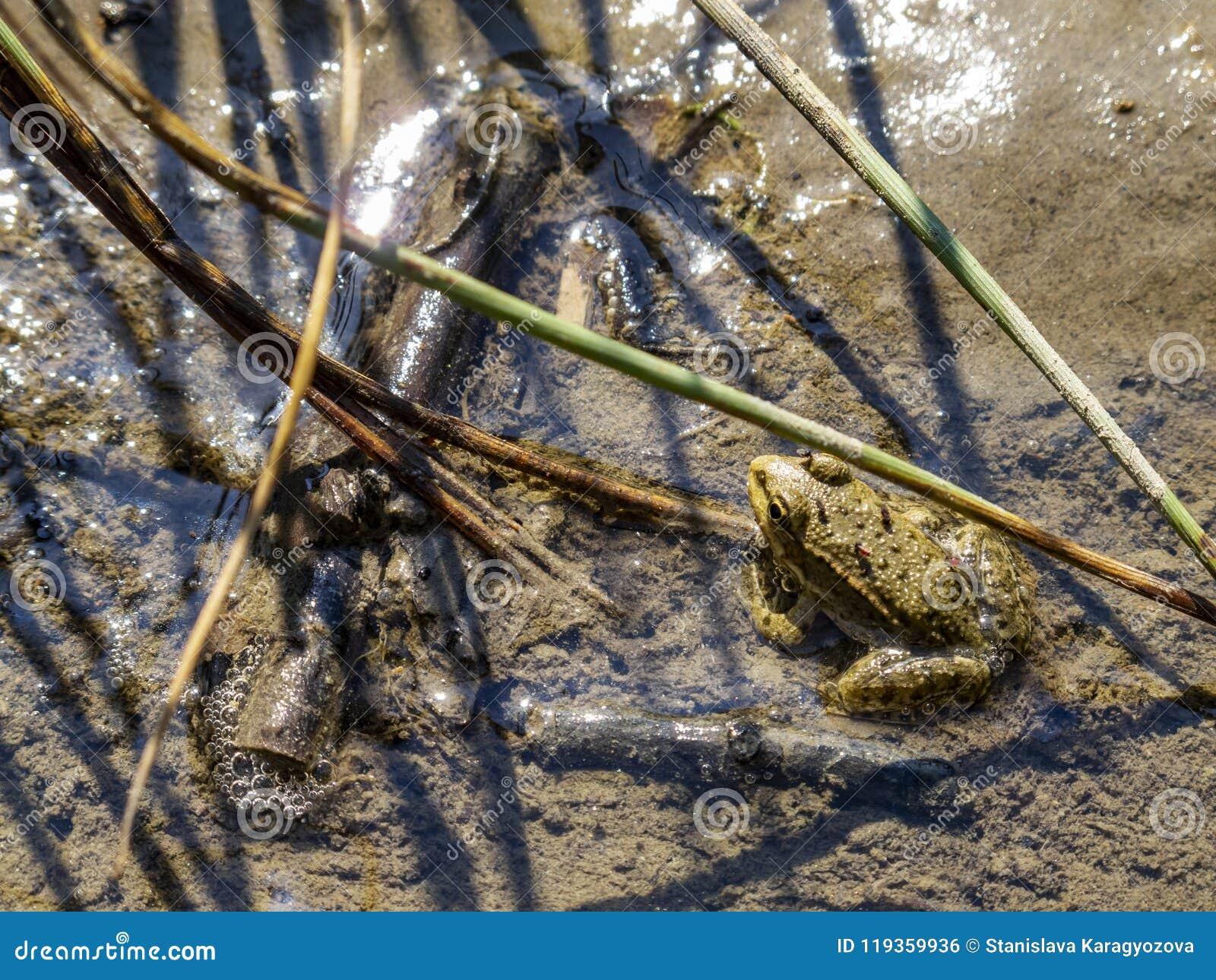 Żaby stać nieporuszony w błocie z zjadliwymi muszkami na nim