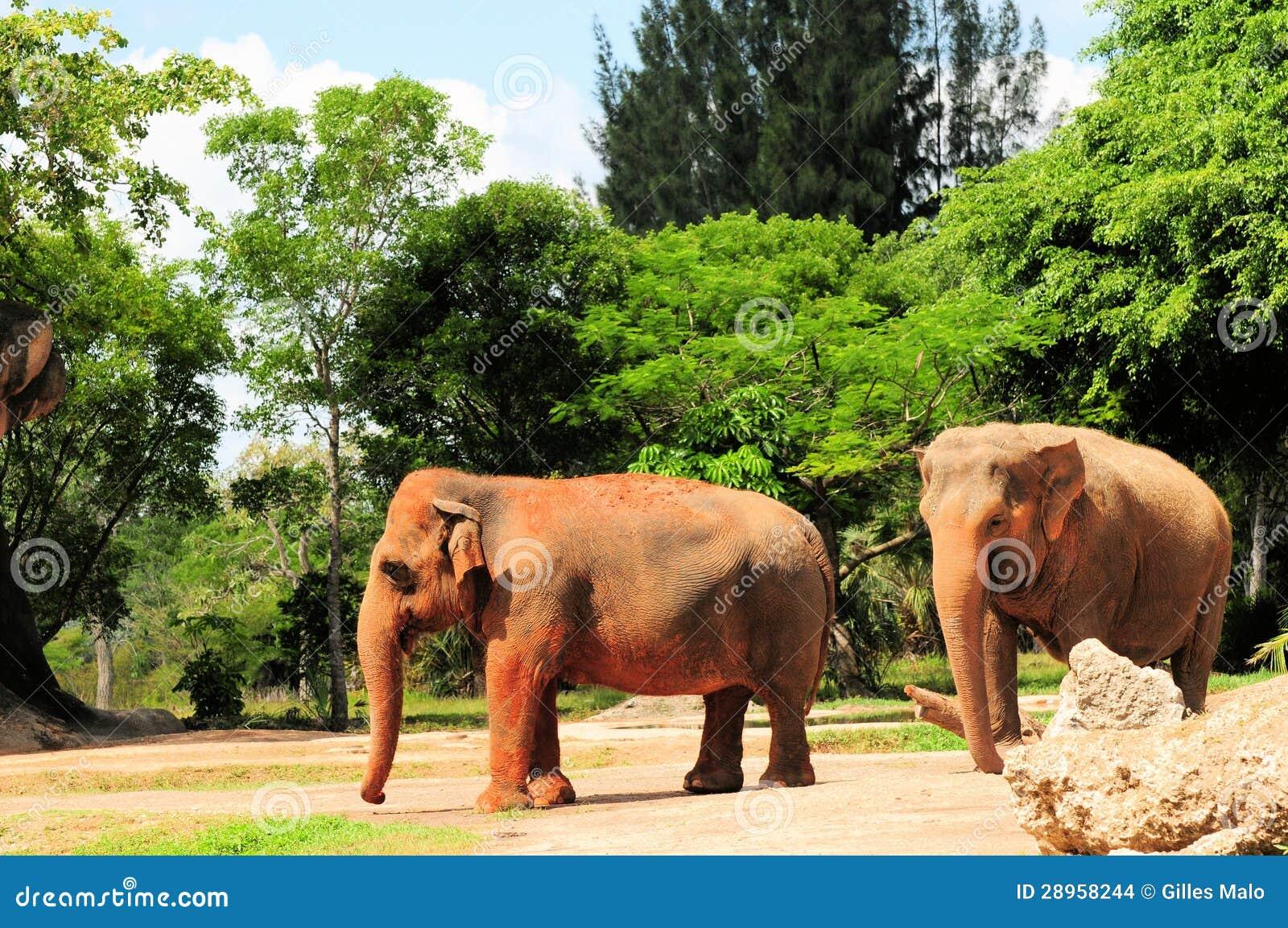 Żeńscy Azjatyccy słonie