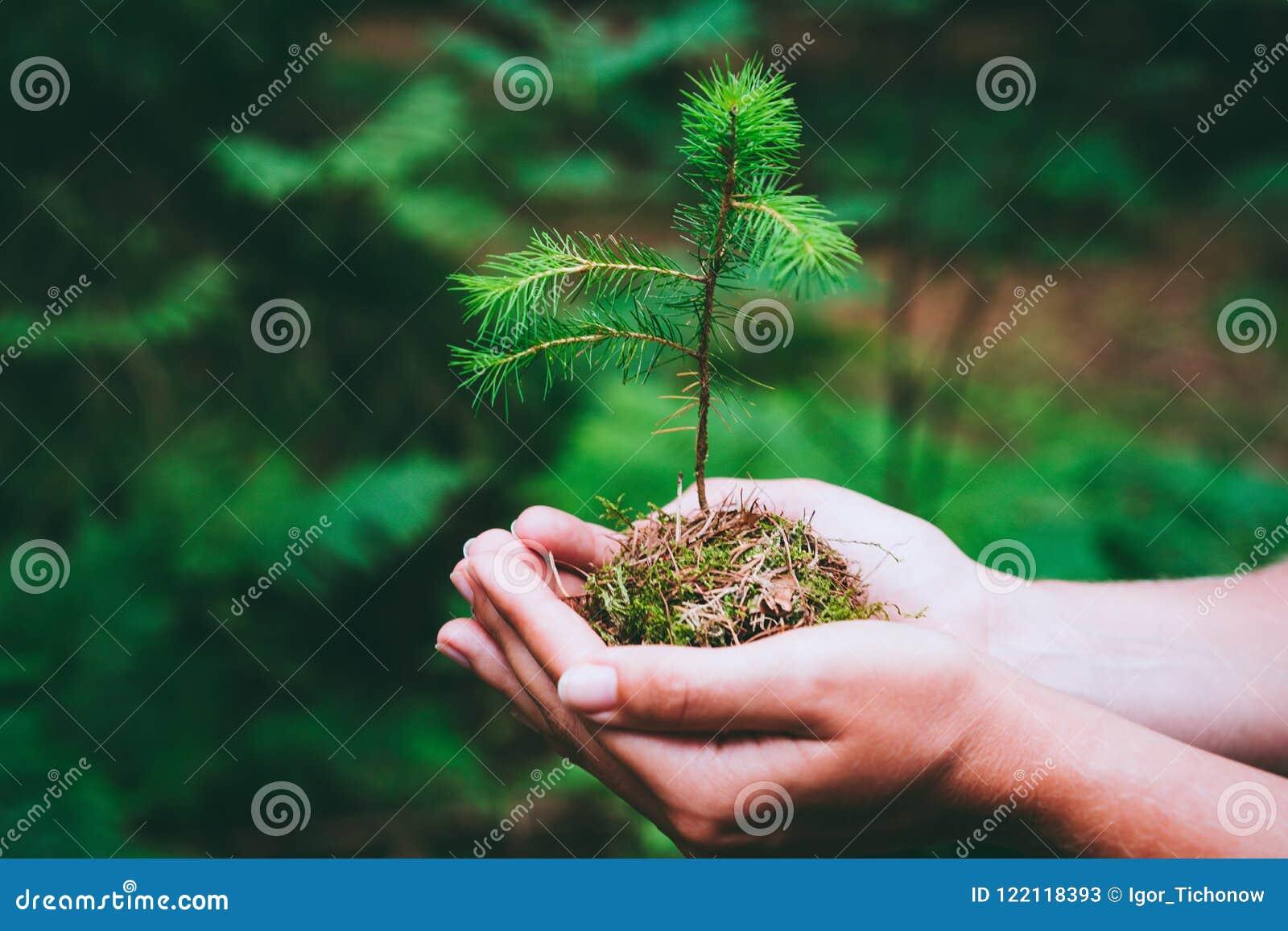 Żeńska ręki mienia flancy wilde sosna w natury zieleni Ziemskiego dnia save środowiska lasowym pojęciu rosnąca sadzonka