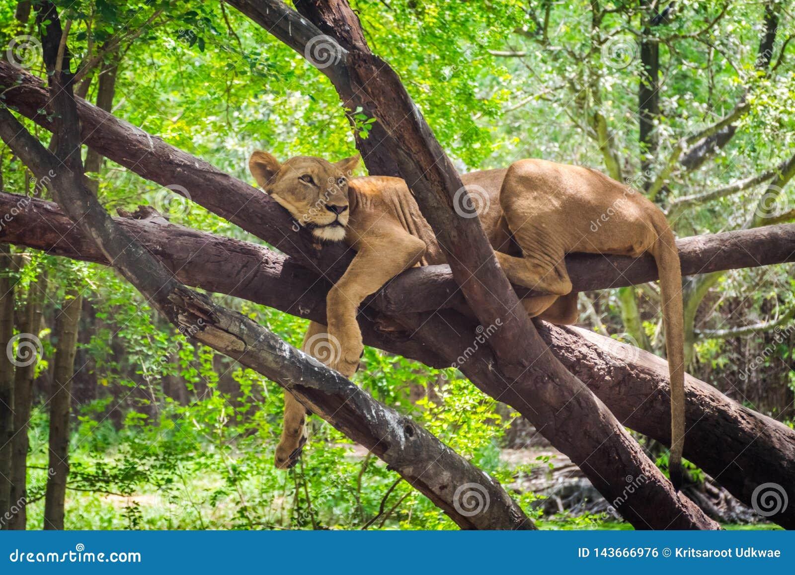 Żeński lew jest odpoczynkowy na drzewie
