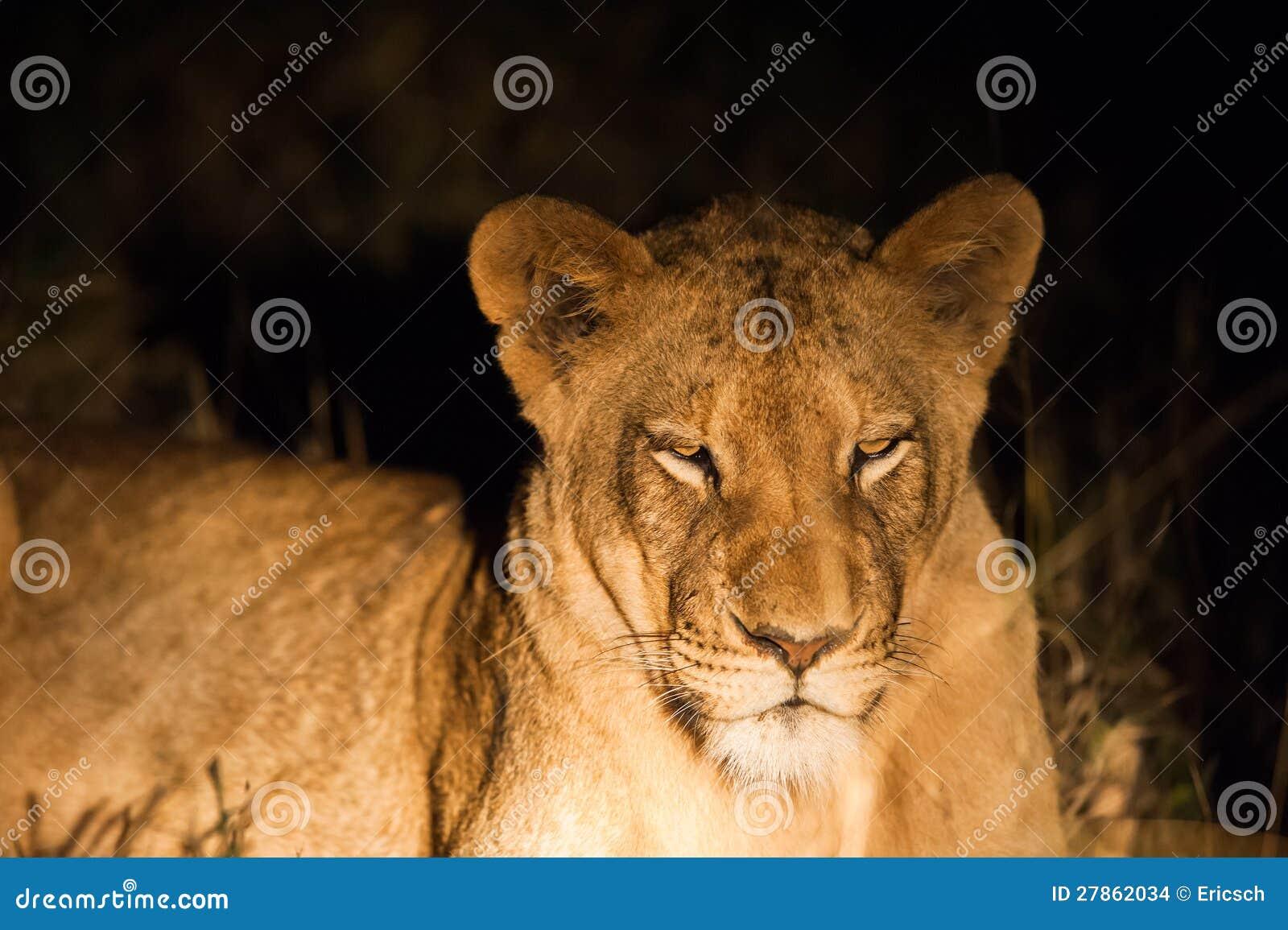 Żeński lew przy nocą