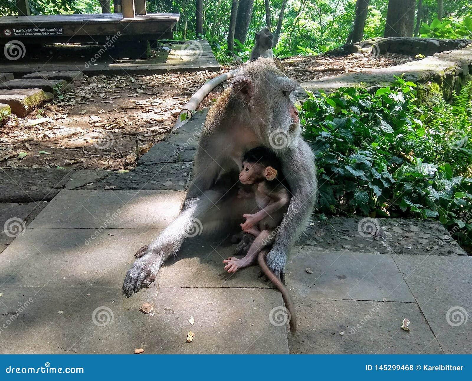 Żeński makak z lisiątkiem w lesie