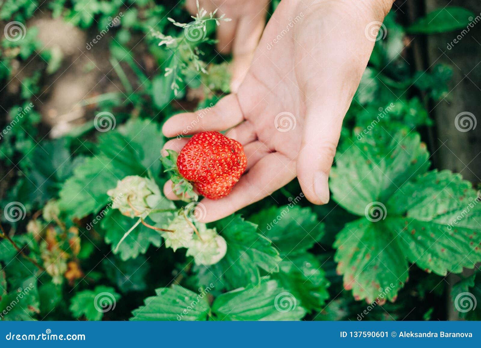Żeński rolnik trzyma czerwonej dojrzałej truskawki w jeden wręcza