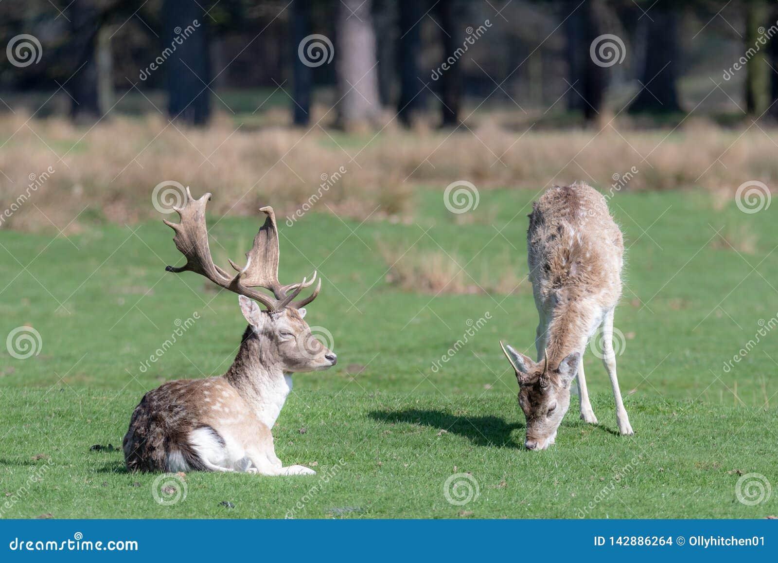 Żeński ugoru rogacz pasa obok siedzącego jelenia