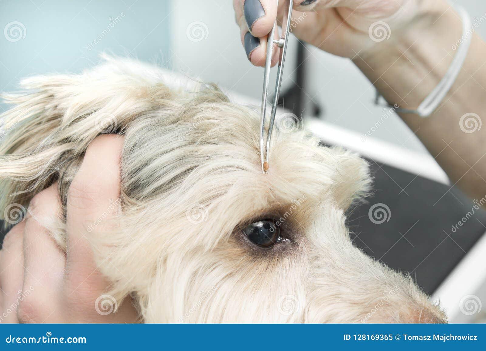 Żeńskie ręki ciągną psiego ` s cwelicha z medycznymi cążkami