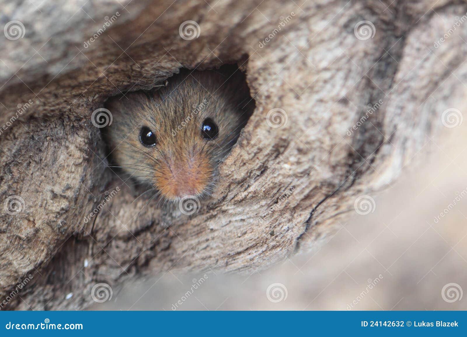 żniwo mysz
