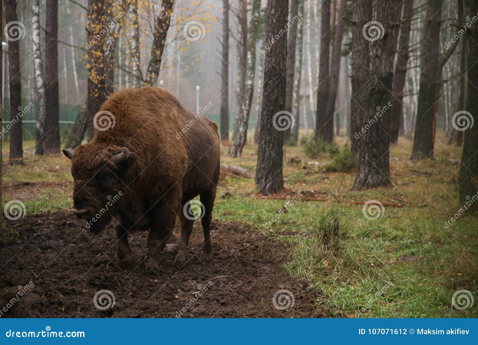 Żubr w rezerwie Białoruś na tle las