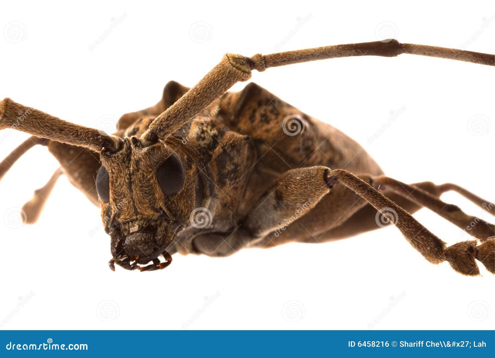 żuk makro longhorn