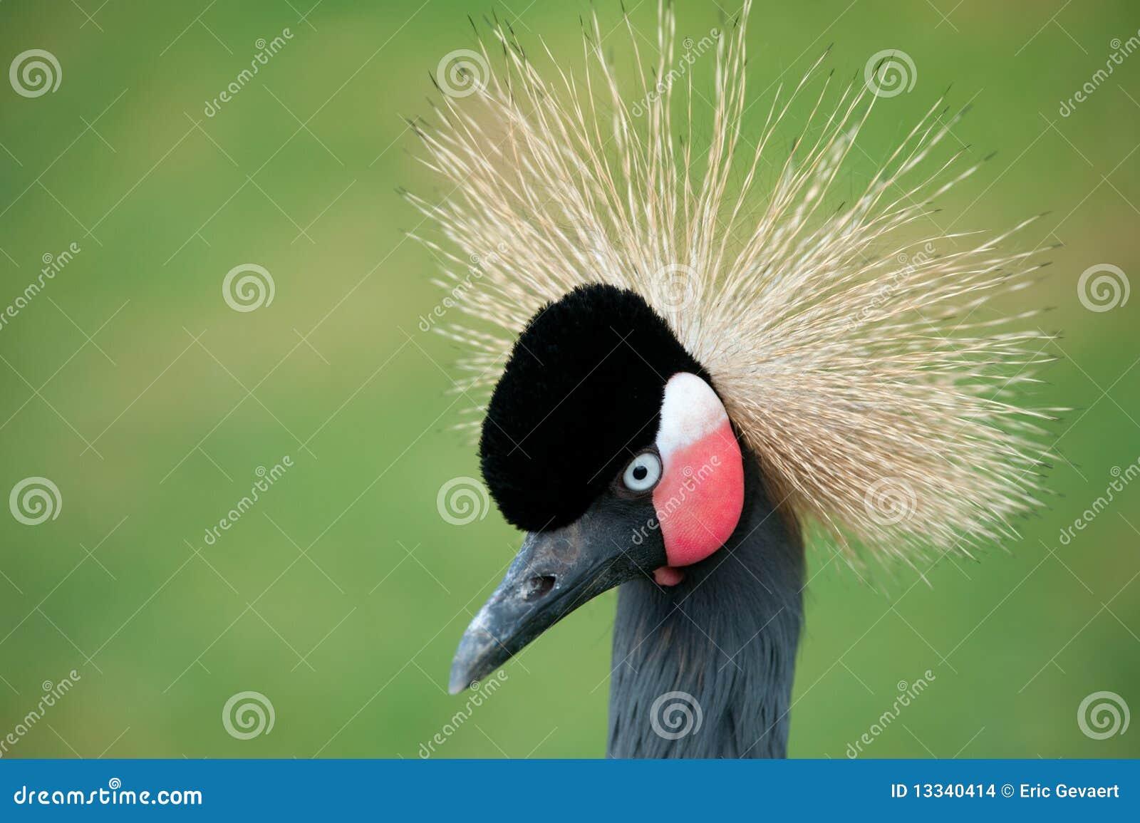 żuraw koronujący grey