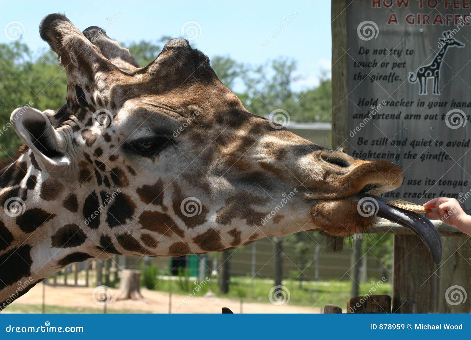 żyrafa żywnościowa