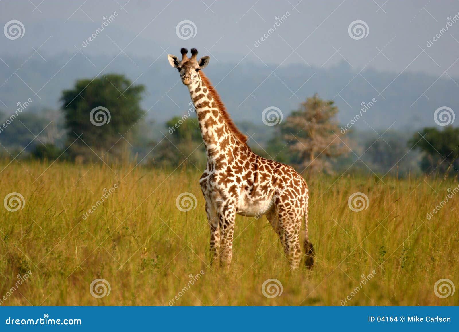 żyrafa dziecka