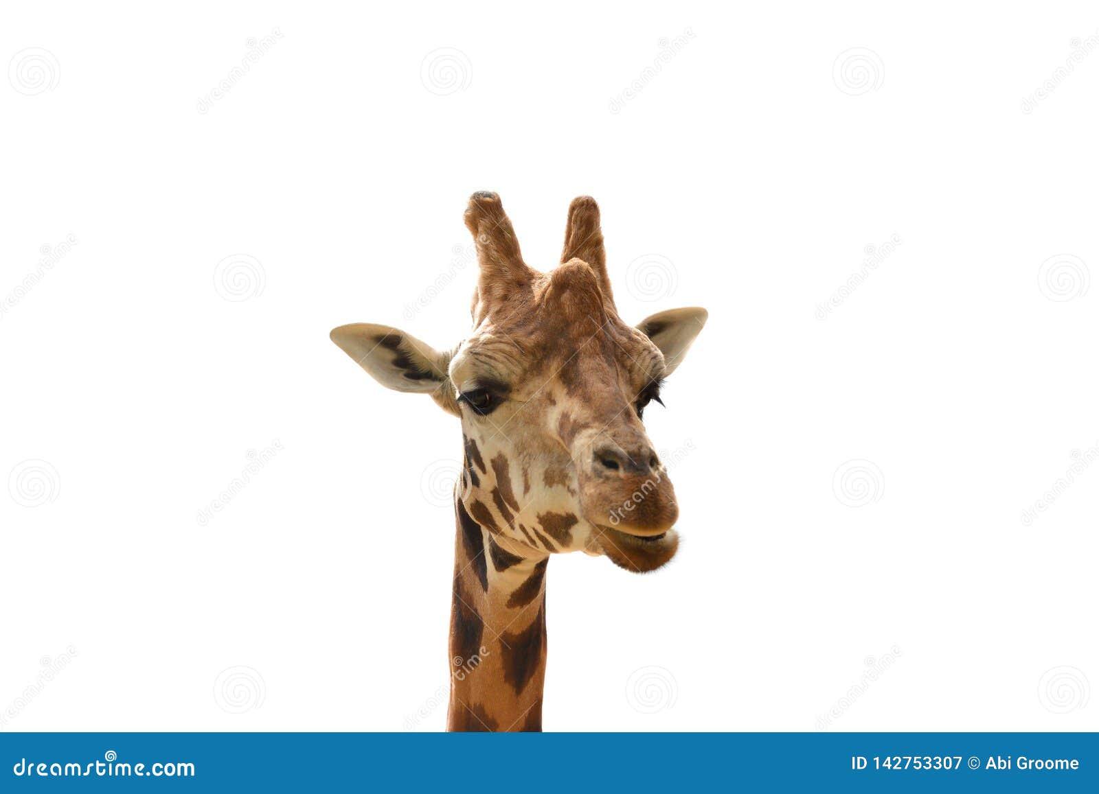 Żyrafa Odizolowywająca na Białym tle