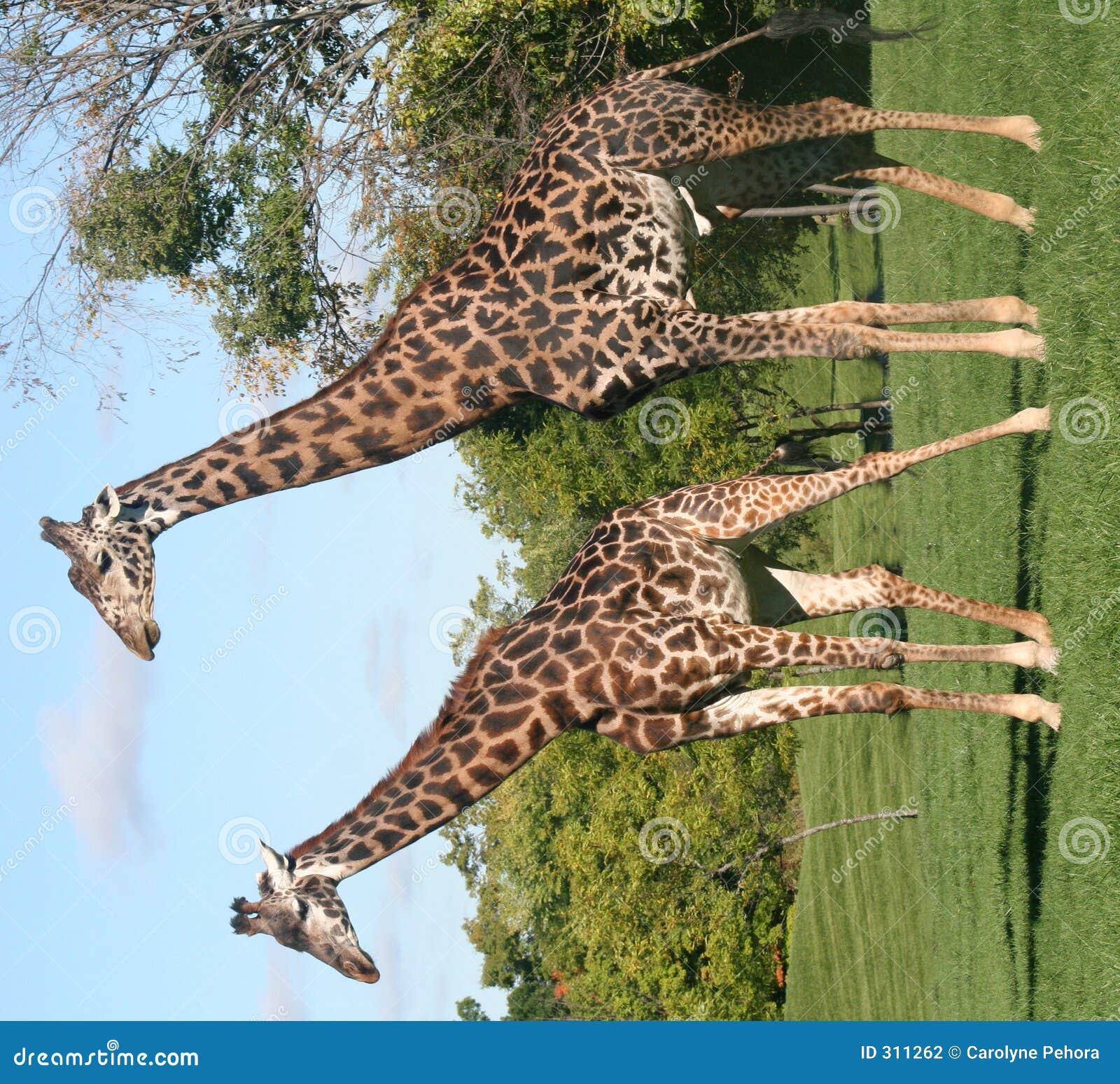 żyrafa pary