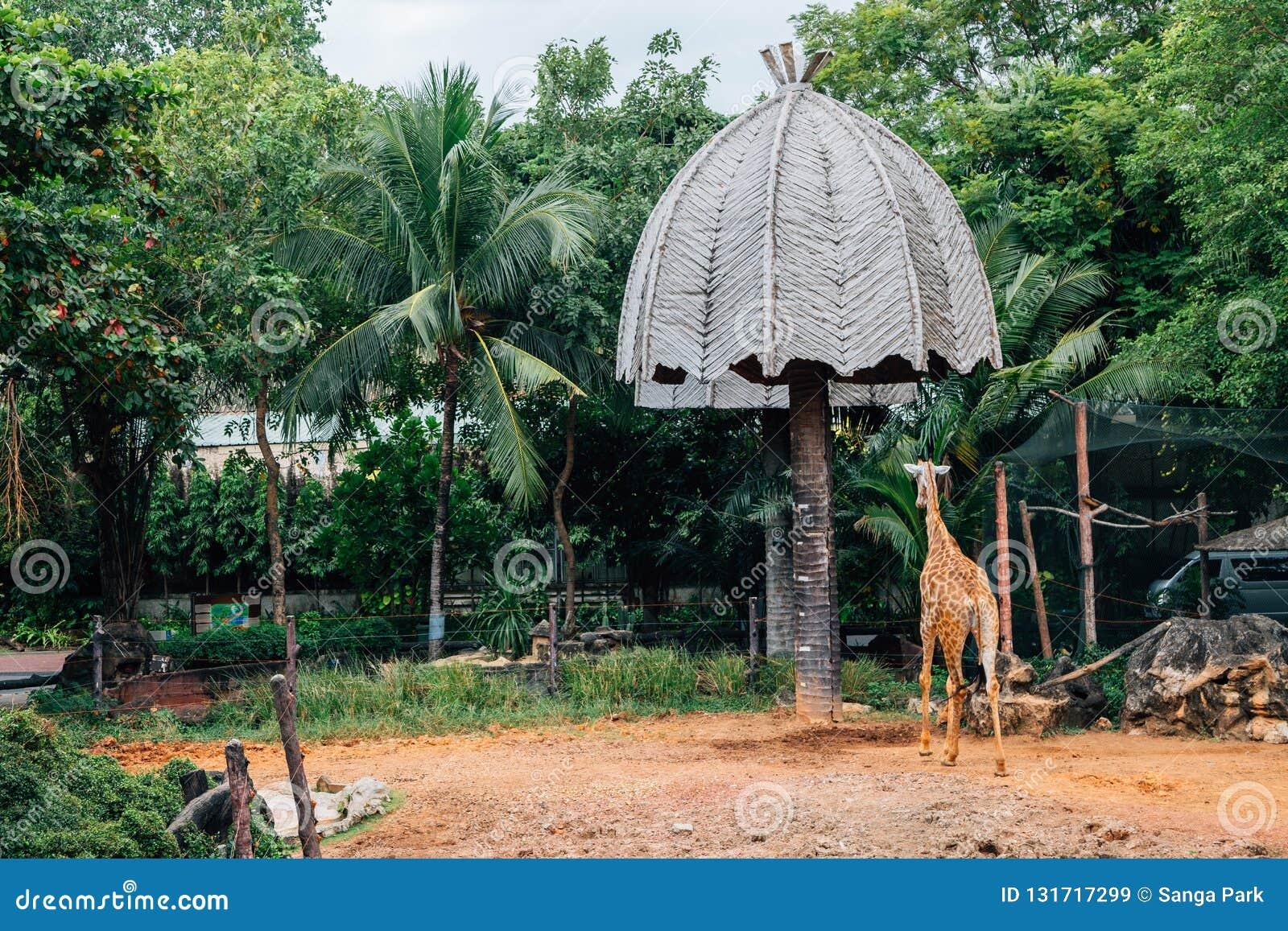 Żyrafa przy Dusit zoo przy Bangkok, Tajlandia