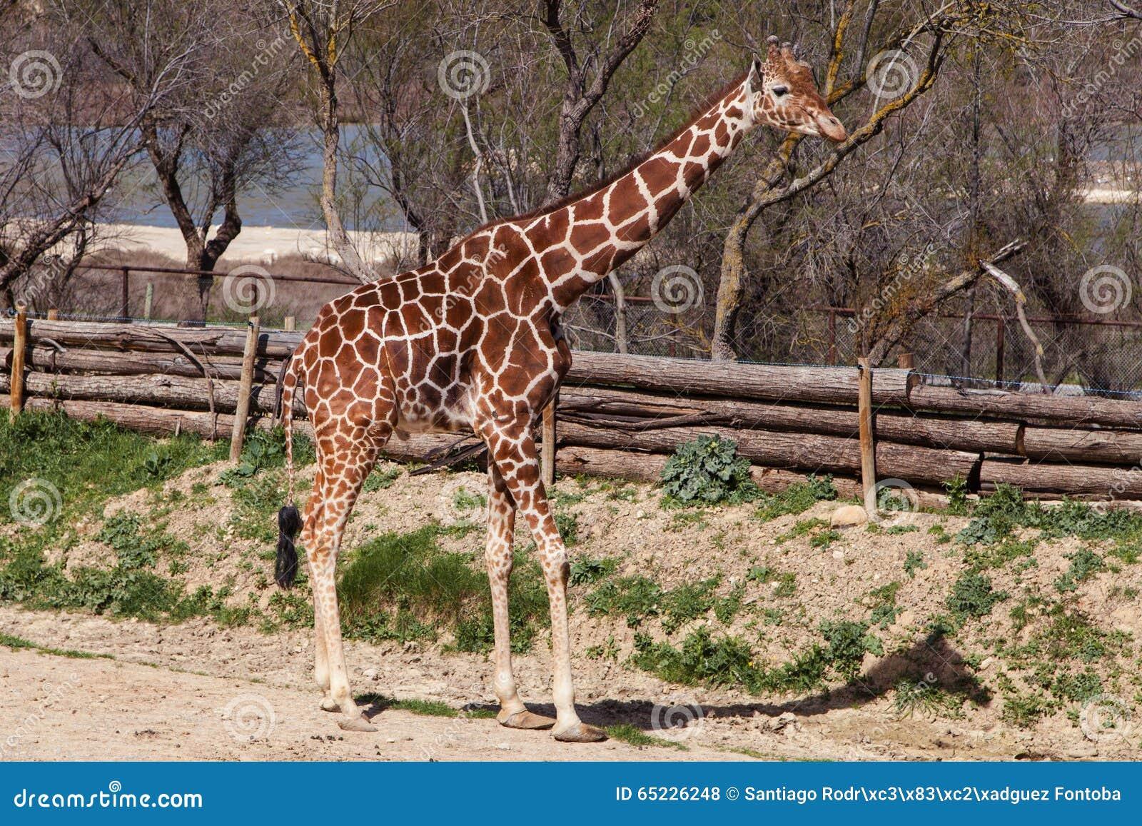 żyrafa somalijska