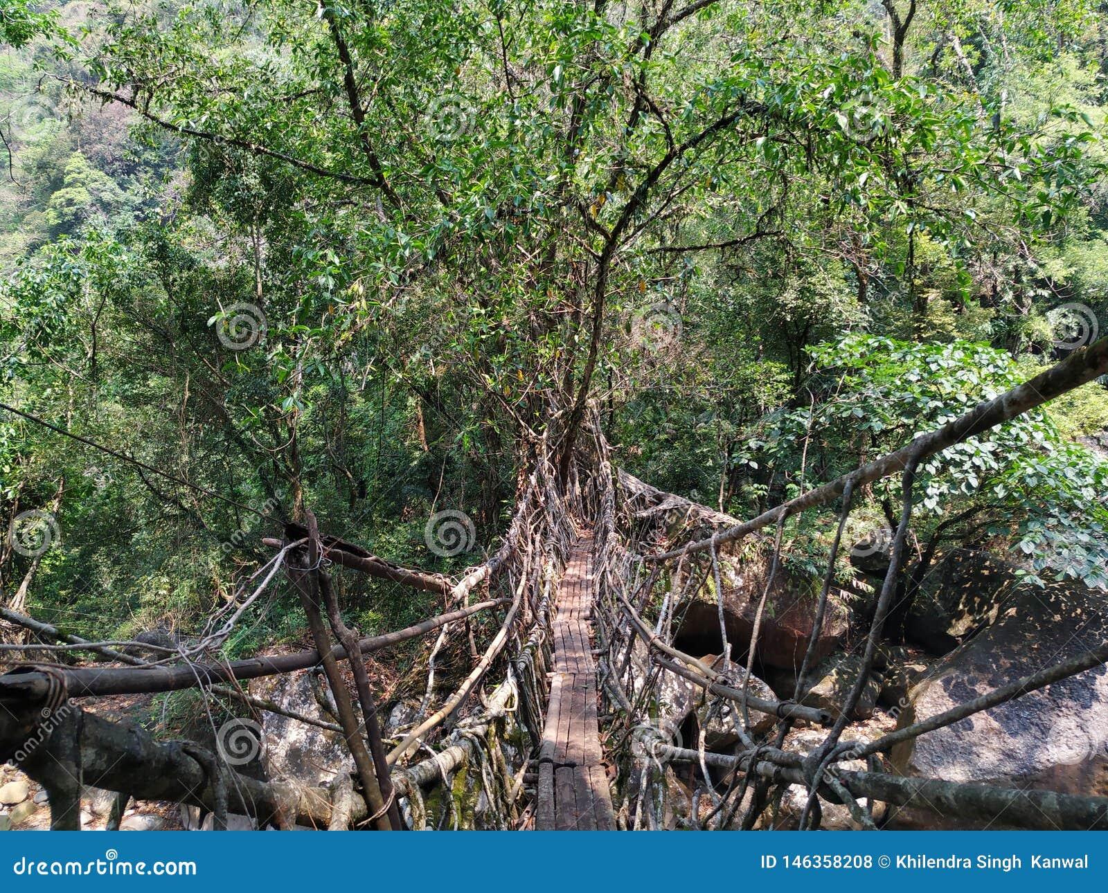 ?ywego korzenia mostu cherrapunji naturalny most
