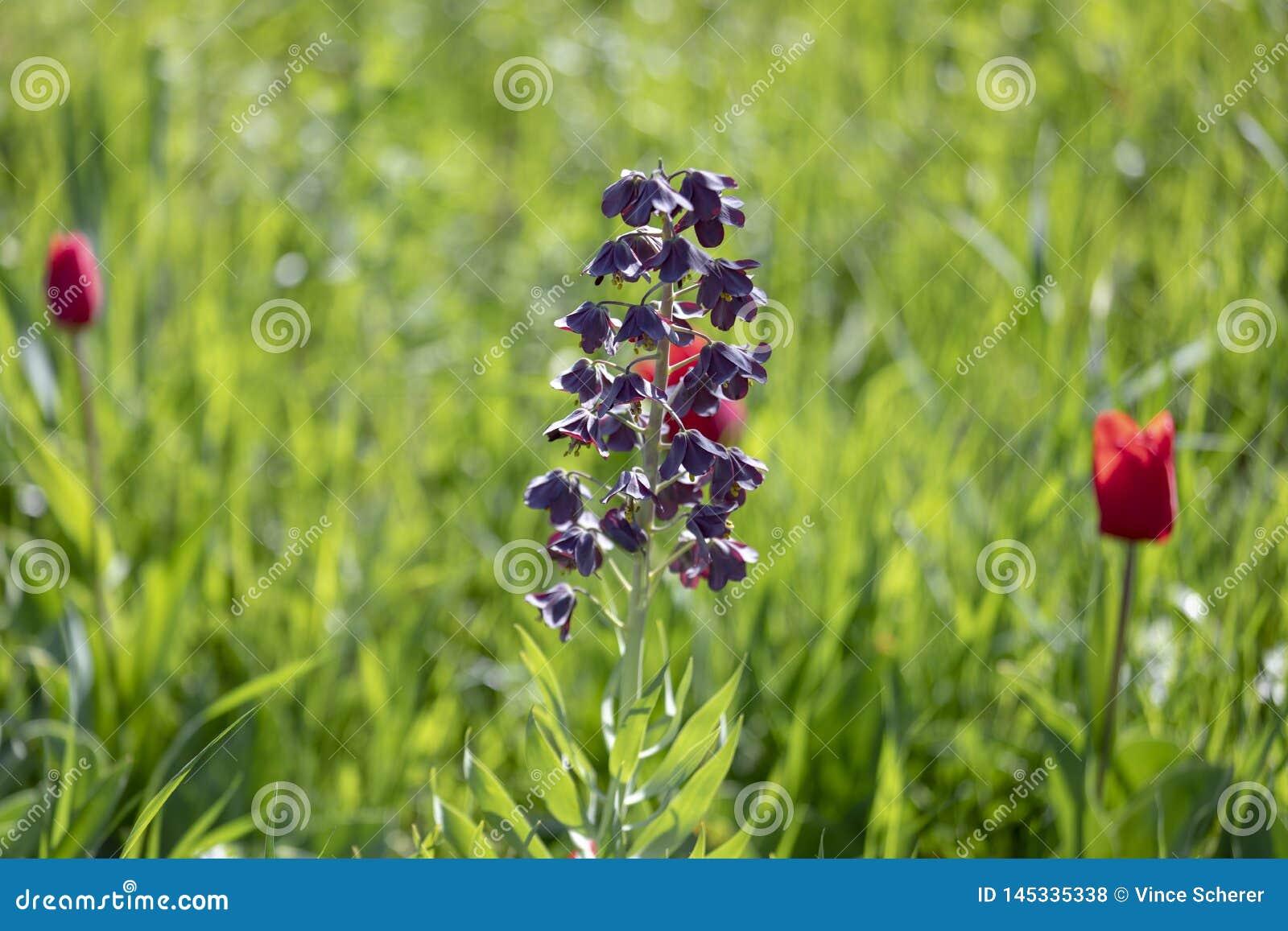 Żywi Bluebonnets przy szczytem ich kwiat