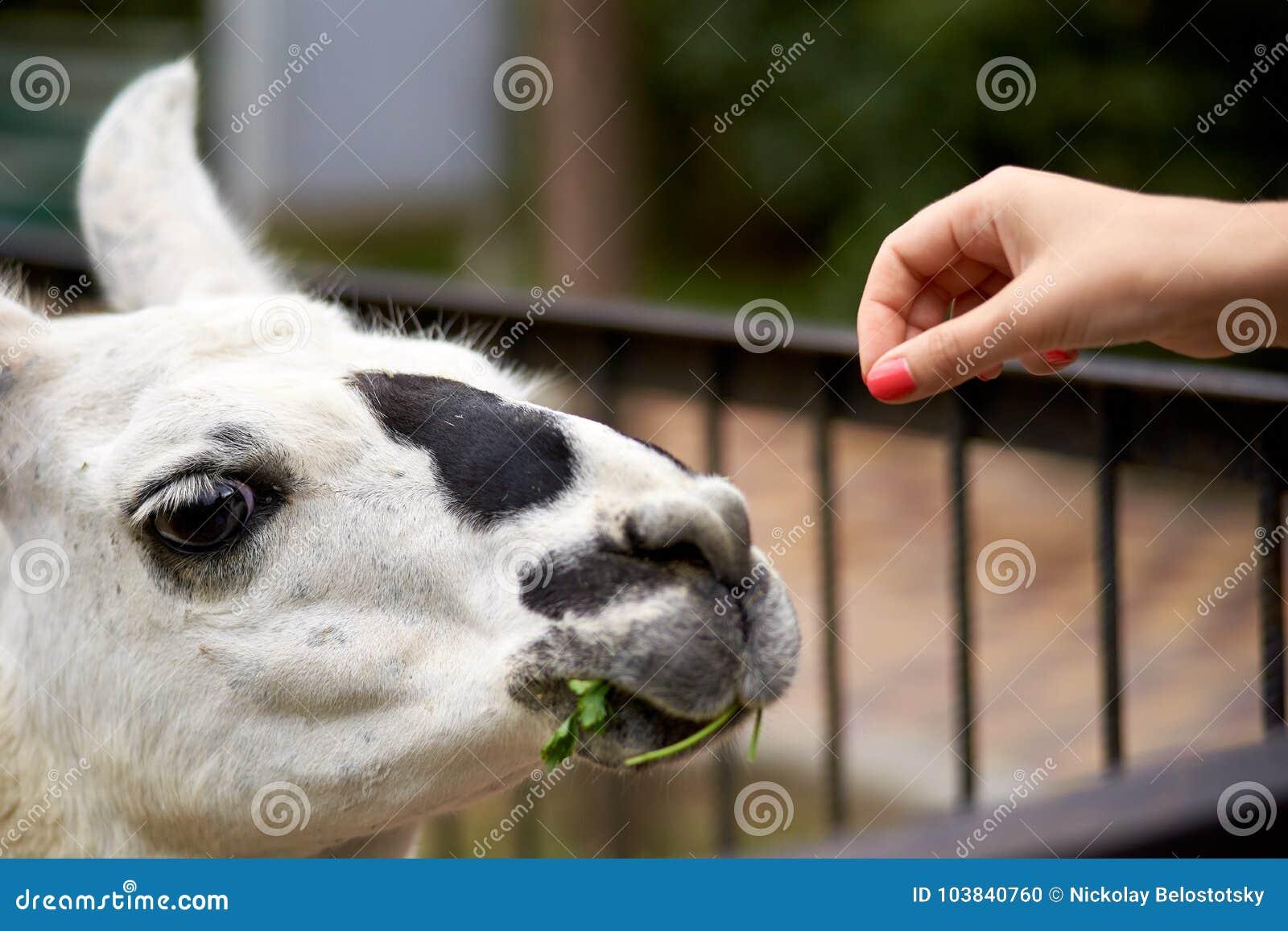 Żywieniowa lama ręką